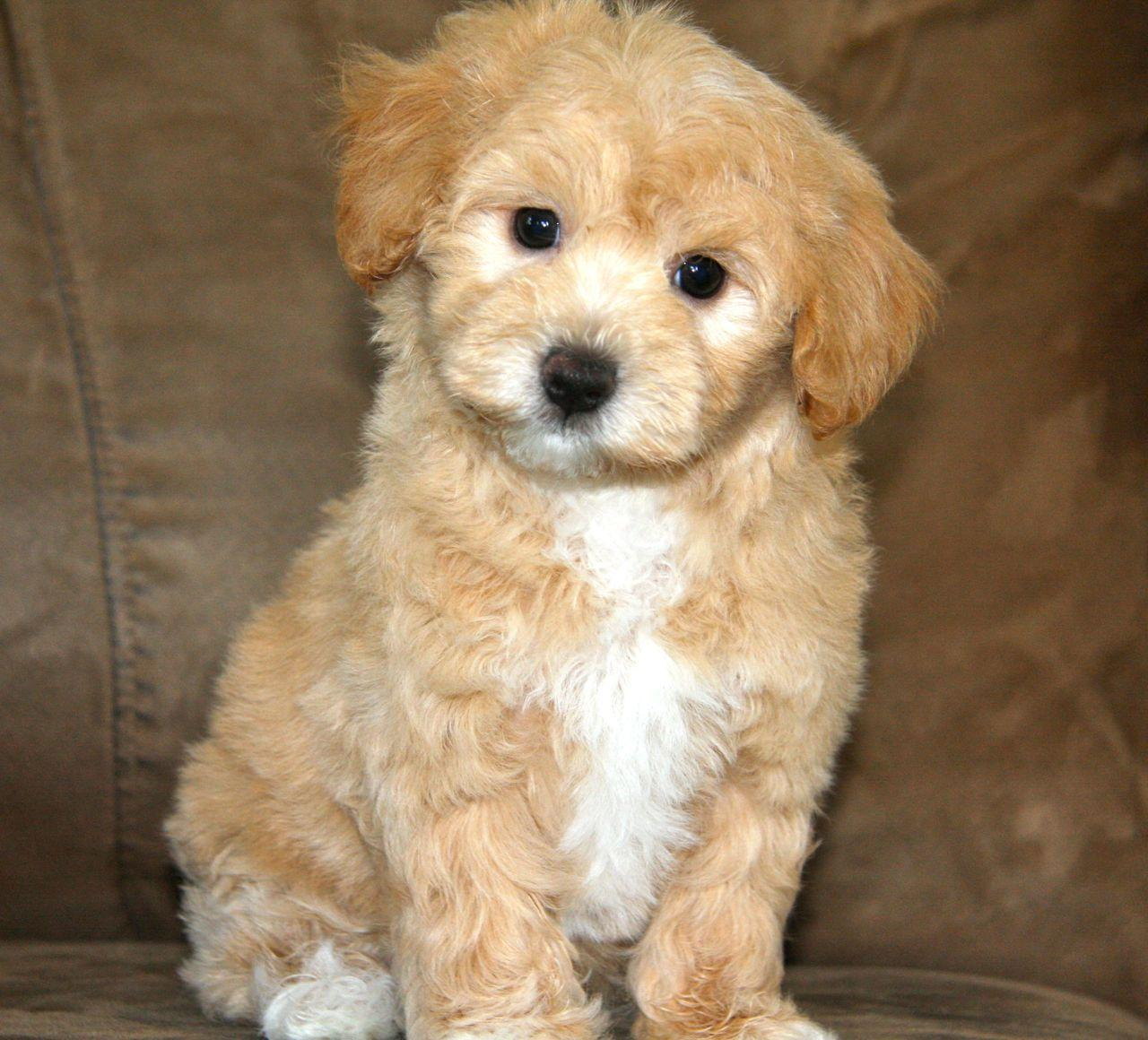 Apricot Maltipoo Puppy | ... of Maltipoos we have already matched ...