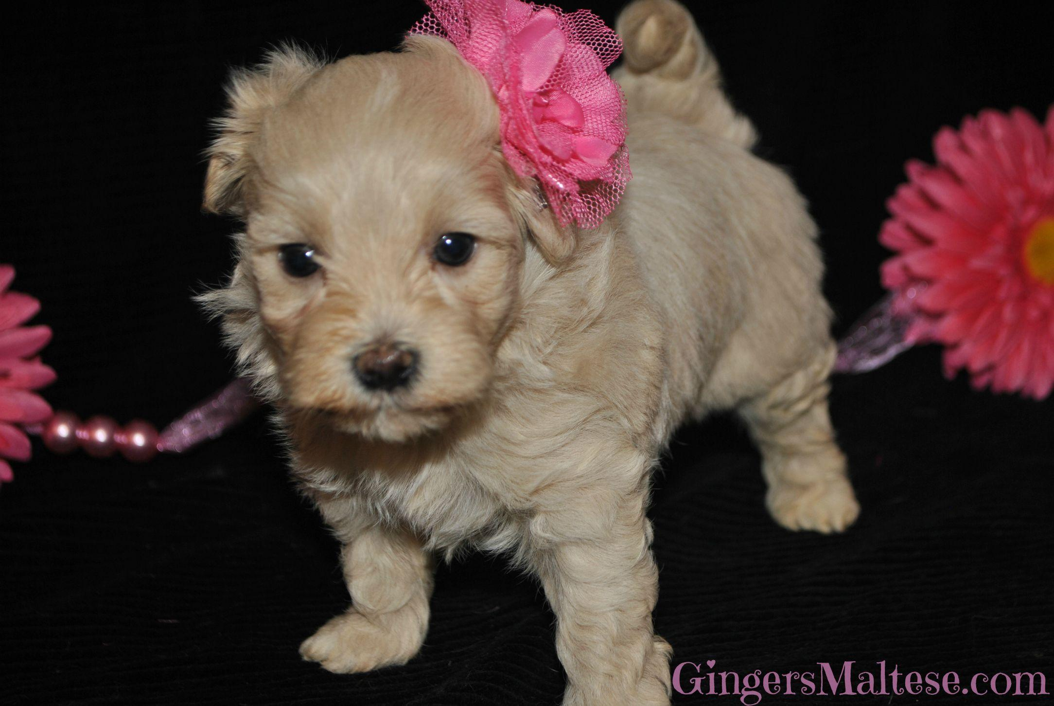 Best Images About Maltipoo Puppies Names Puppys Wallpaper And ...