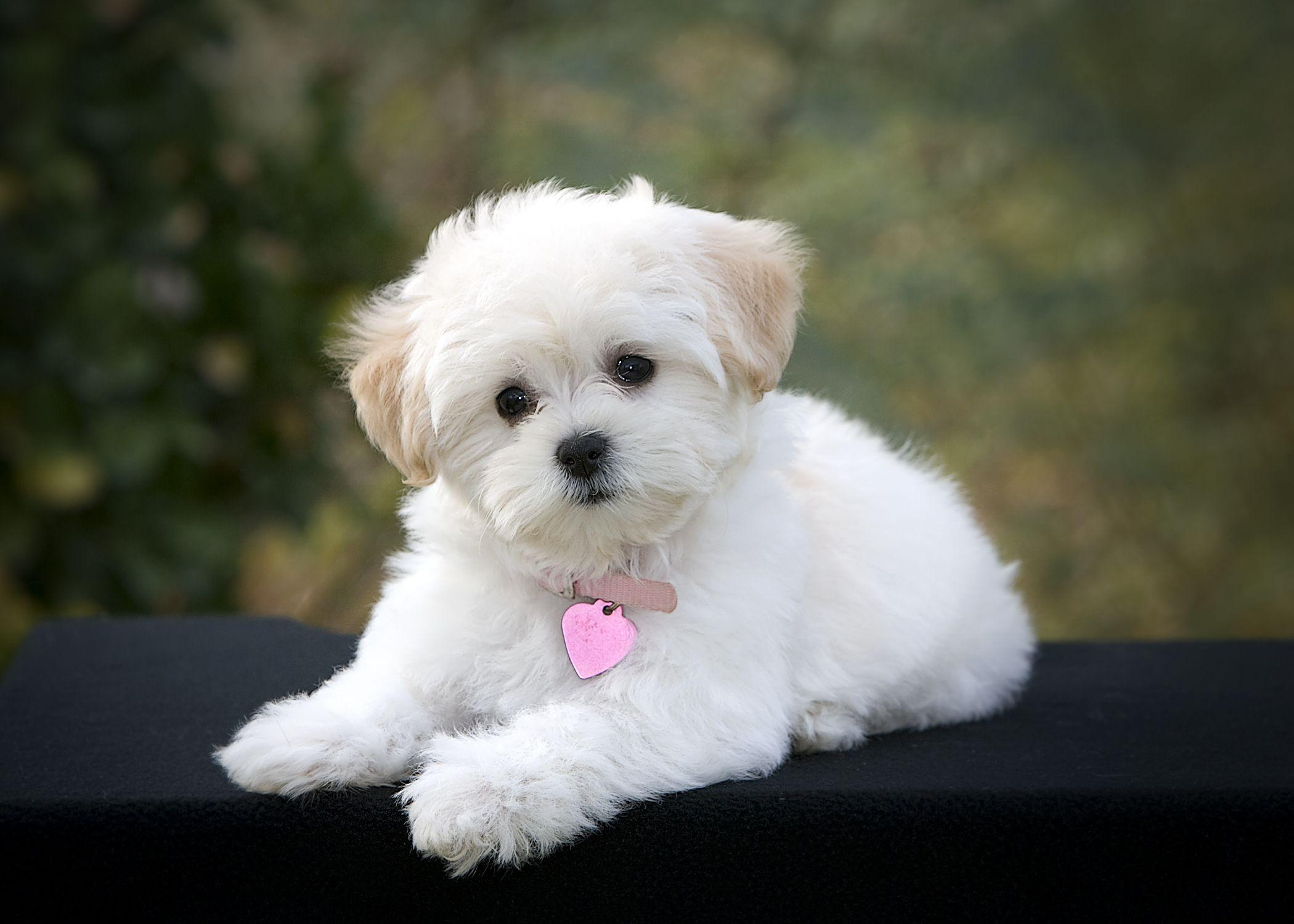 Can We Guess Your Dog's Name? | Maltipoo, Dog and Dog breeds