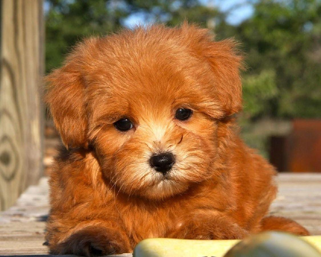 Maltipoo Dogs Wallpapers - Android Apps on Google Play