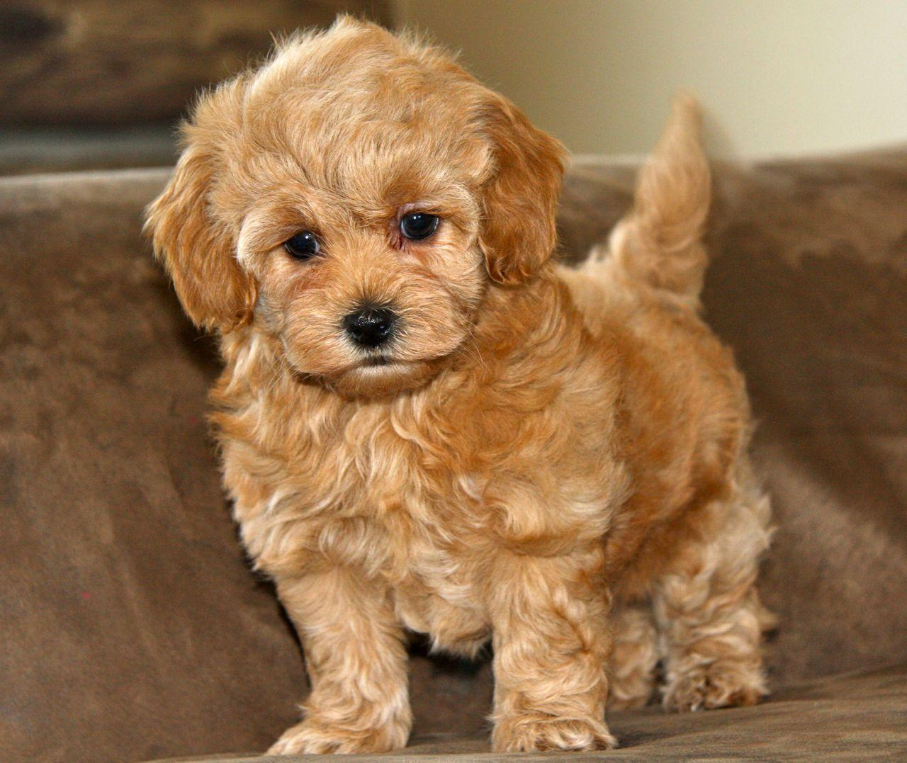 Best Images About Maltipoo Puppies For Screensaver With Pictures ...