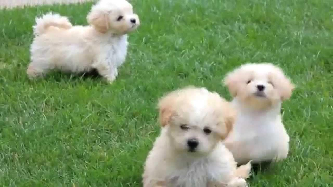Maltipoo Puppies For Backgrounds With Pictures Of High Resolution ...