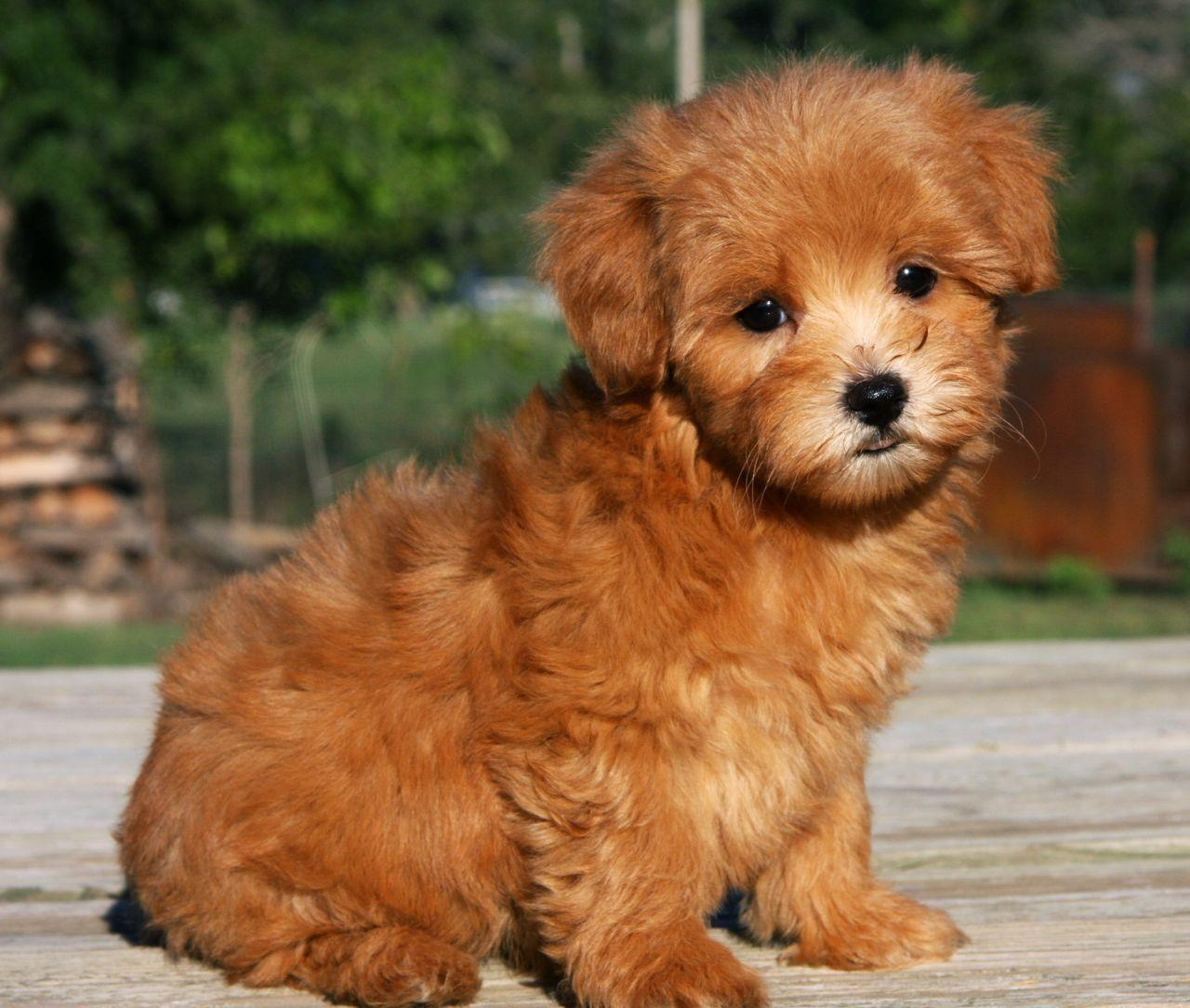 Ideas About Maltipoo Puppies Wallpaper And Pictures Of High ...