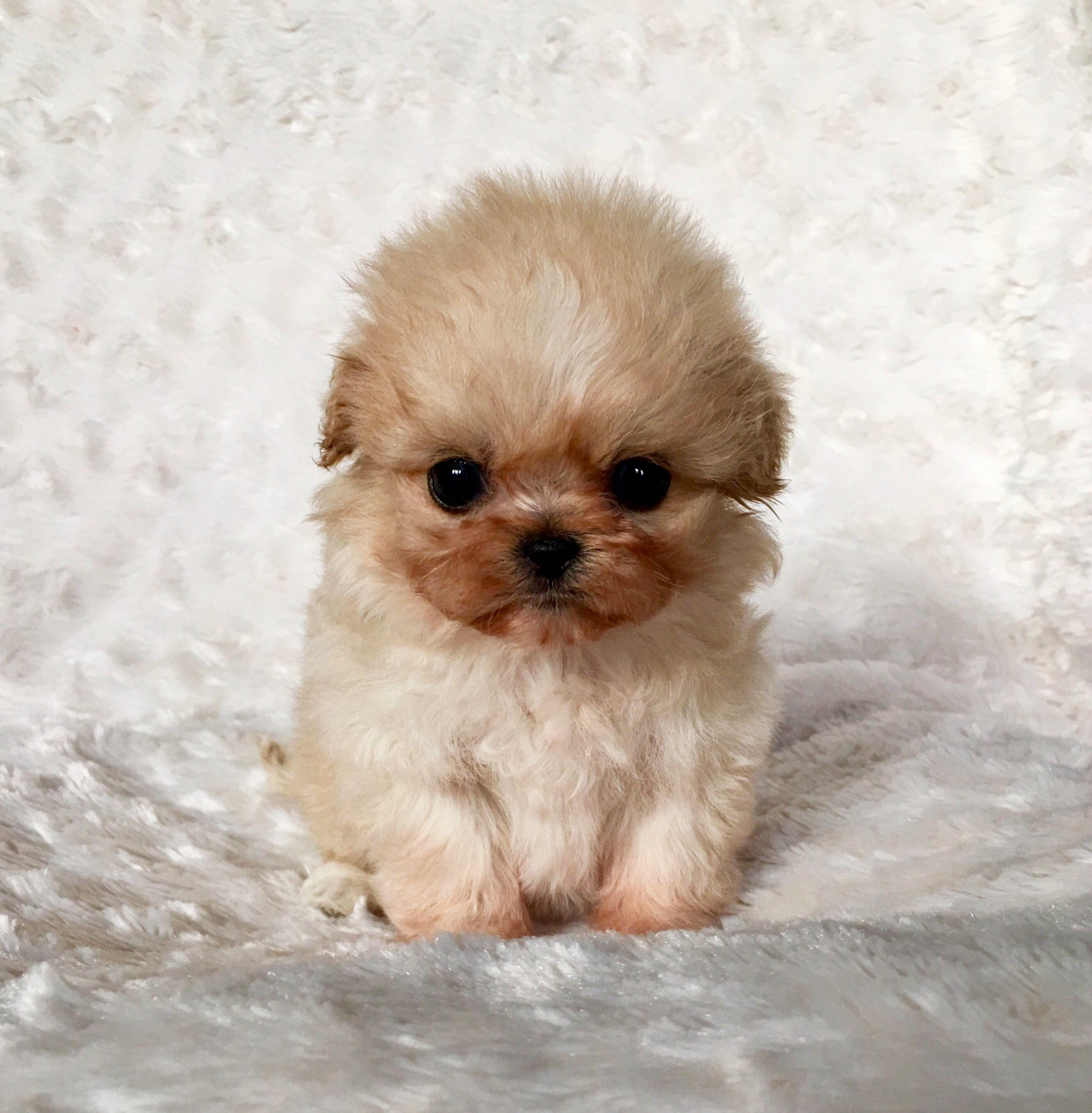Micro Teacup Maltipoo Puppy Extreme Widescreen With Pics Of ...