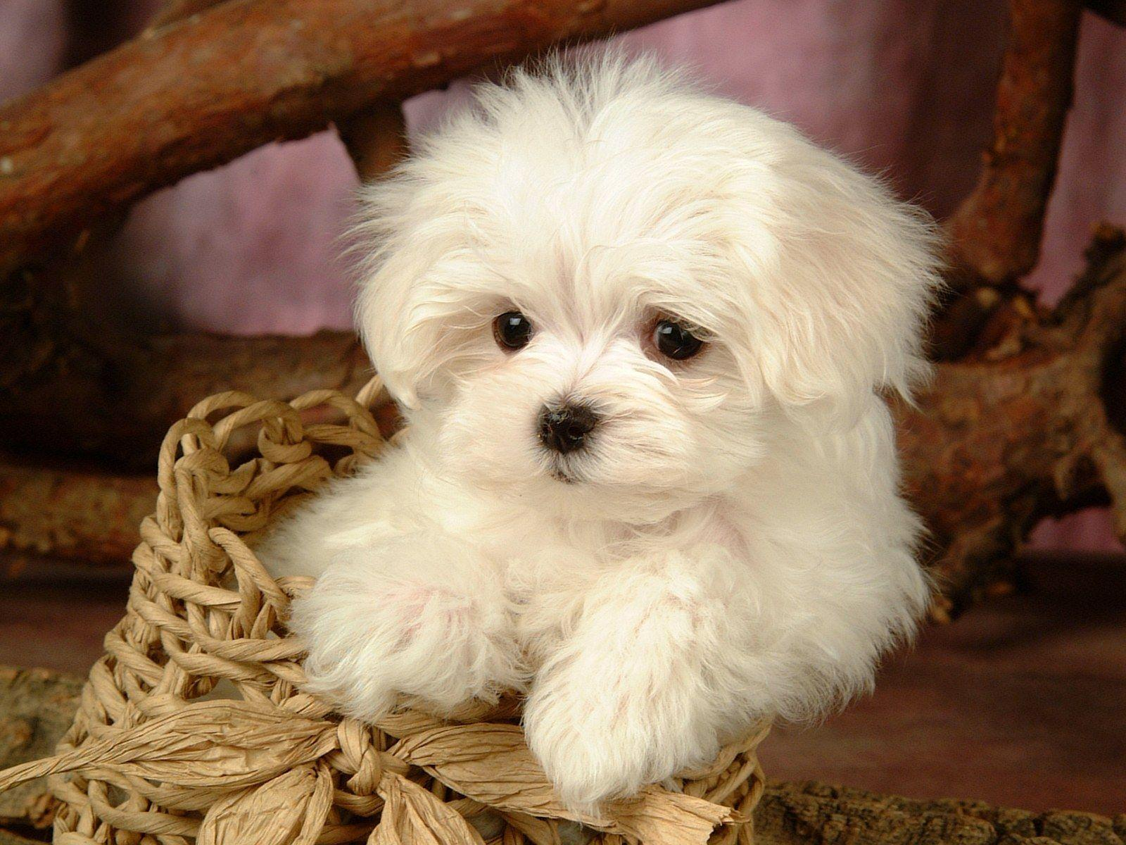 dogs | Fluffy Maltese Puppy Dogs - White Maltese Puppies ...