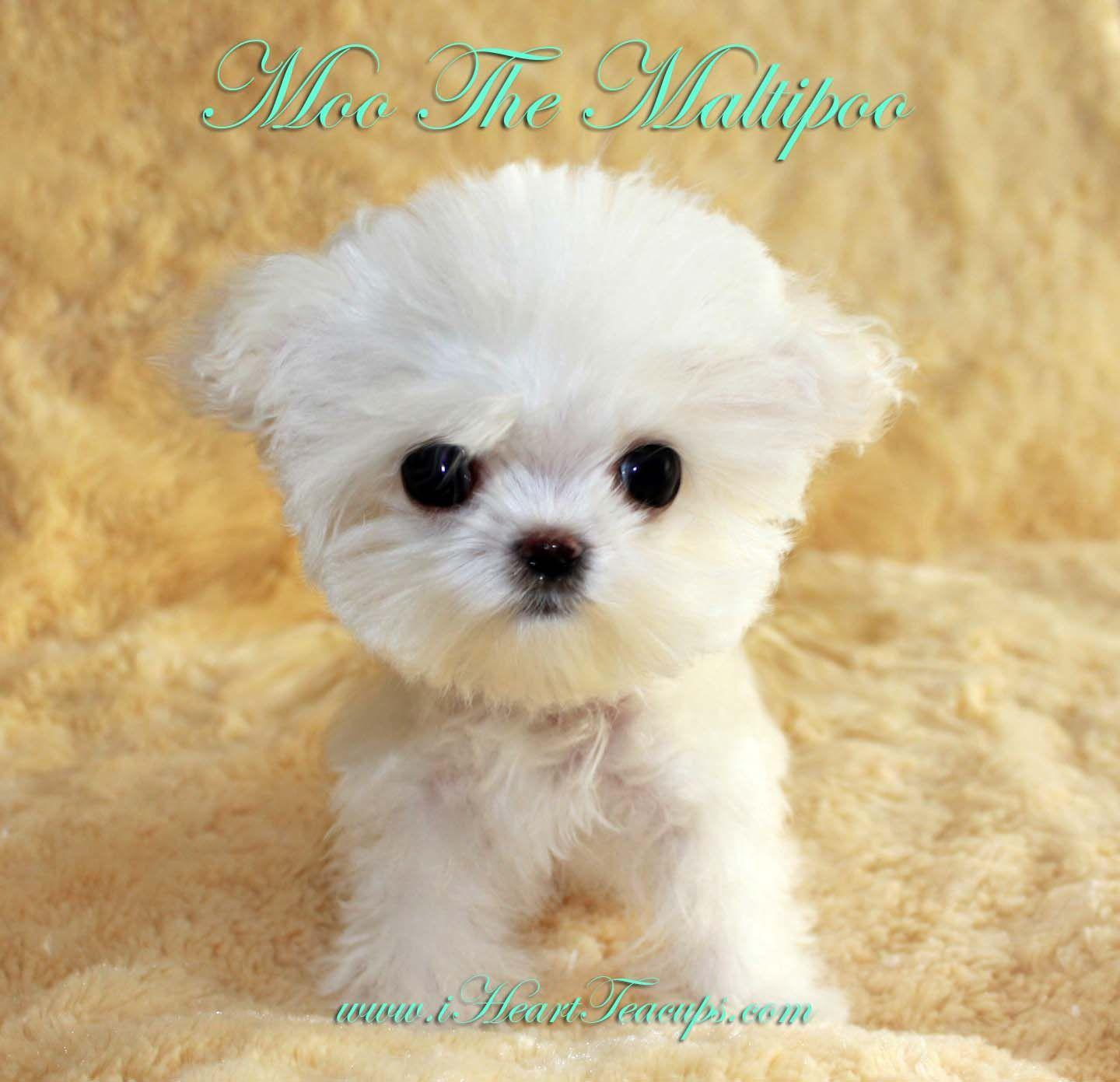 Maltipoo Wallpapers Wallpaper Cave