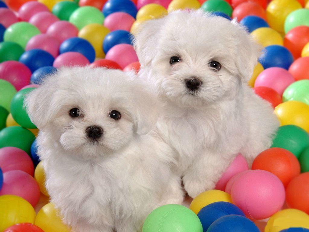 Bichon Frise Picture Wallpapers | Animals are just toooo cute ...