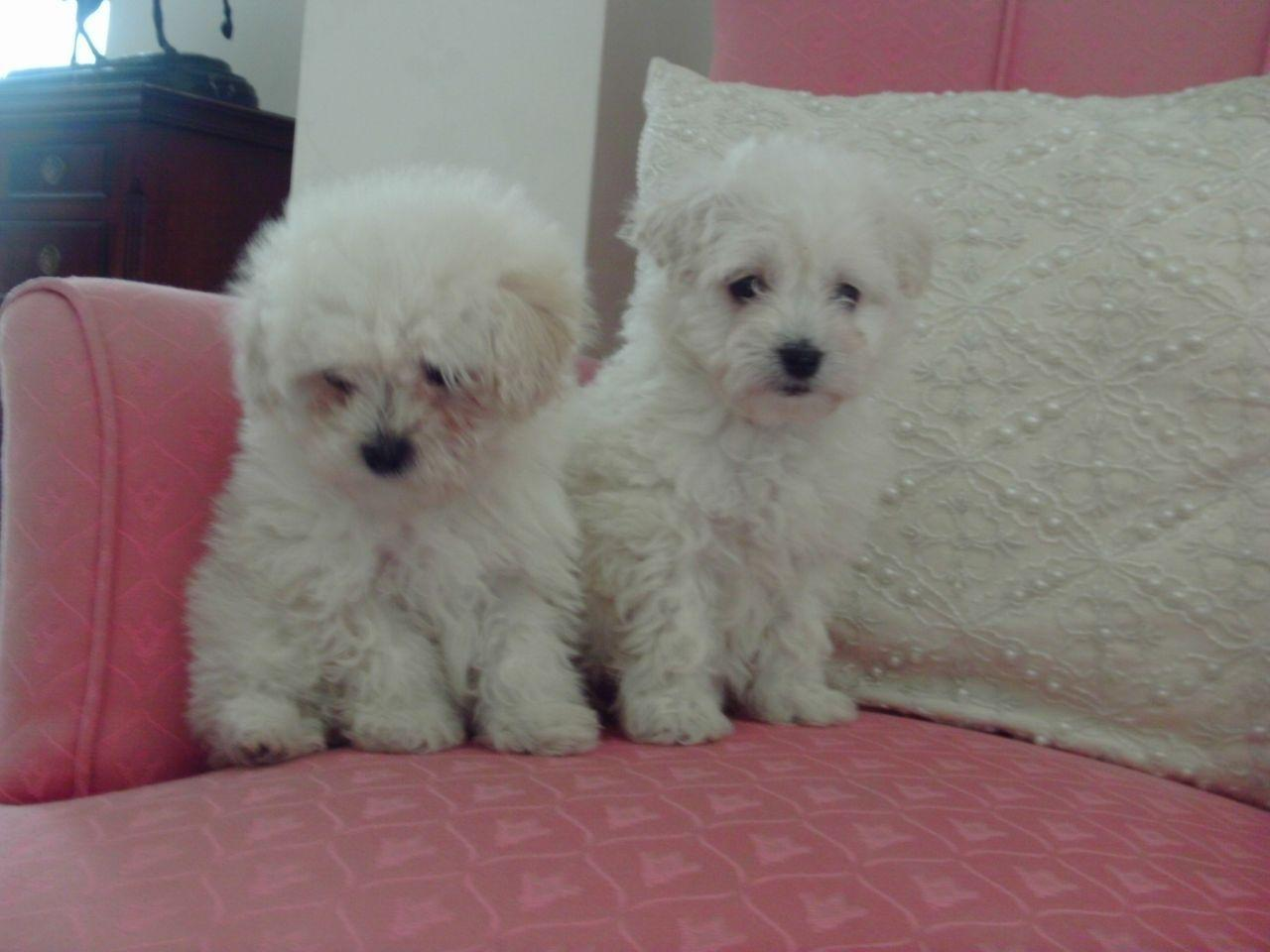 Maltipoo Puppies Wisbech Cambridgeshire Petshomes On Backgrounds ...