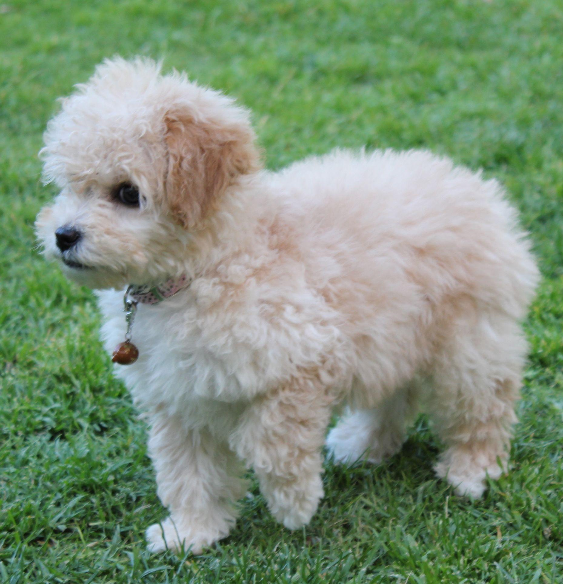 Toy Maltipoo | img_7448.jpg | Dogs | Pinterest | Toy maltipoo ...