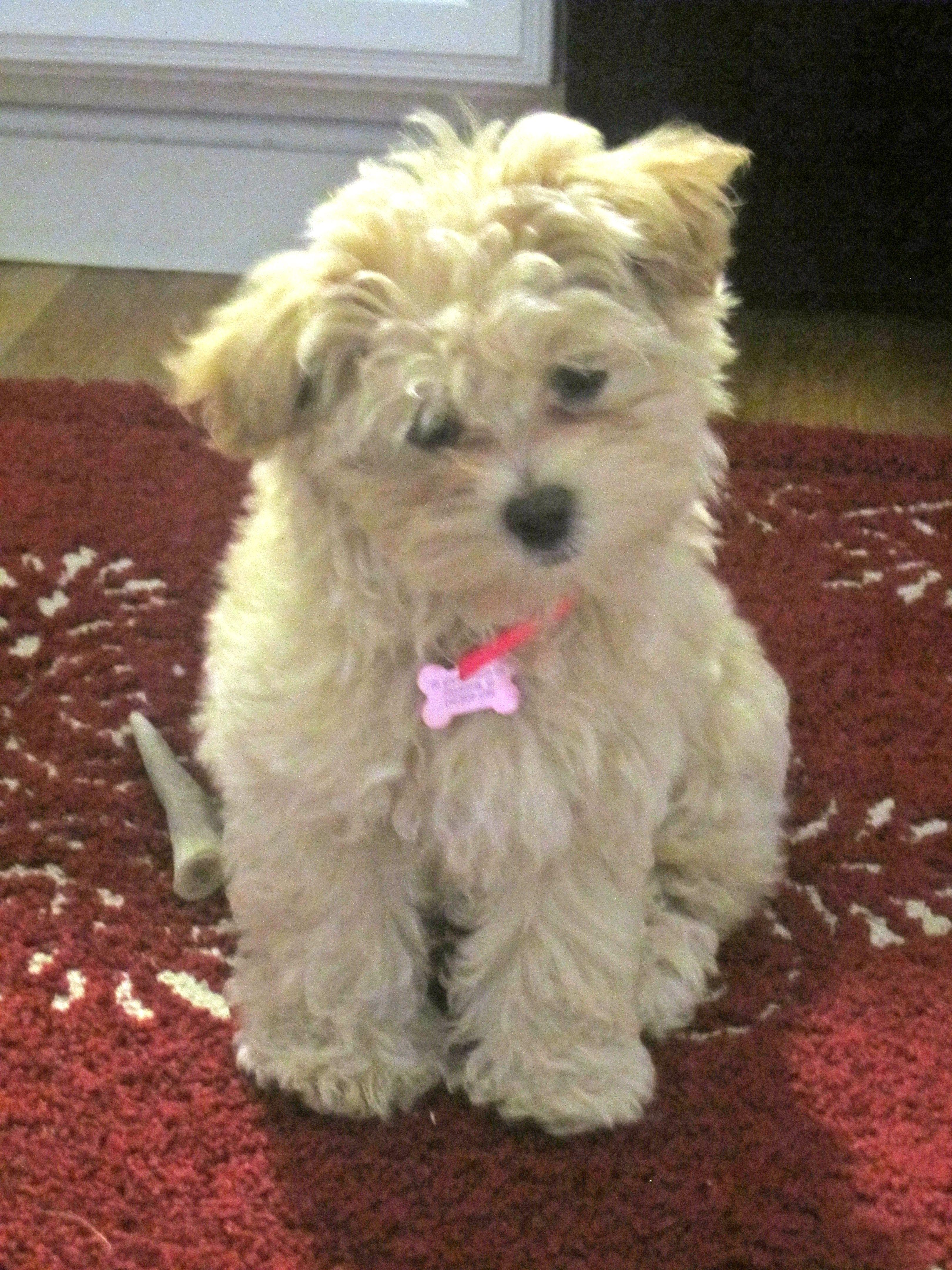 My maltipoo Luna!!! | puppies | Pinterest | Maltipoo, Pup and Dog