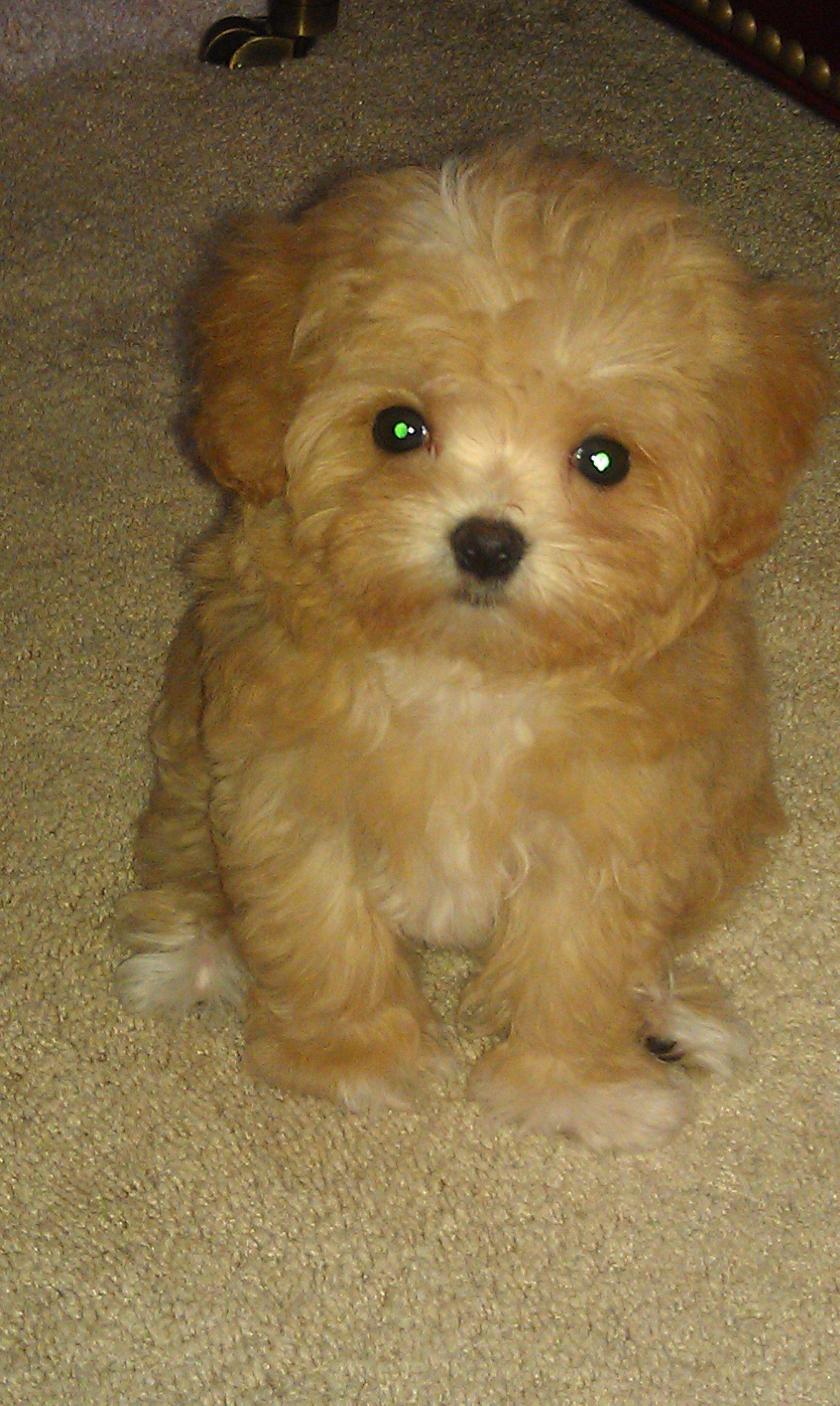 Bella, cutest Maltipoo ever! But that name has got to go!! Ruined ...