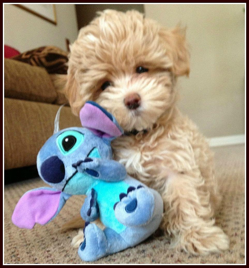 Apricot Toy Maltipoo - Google Search | Animal | Pinterest | Toy ...