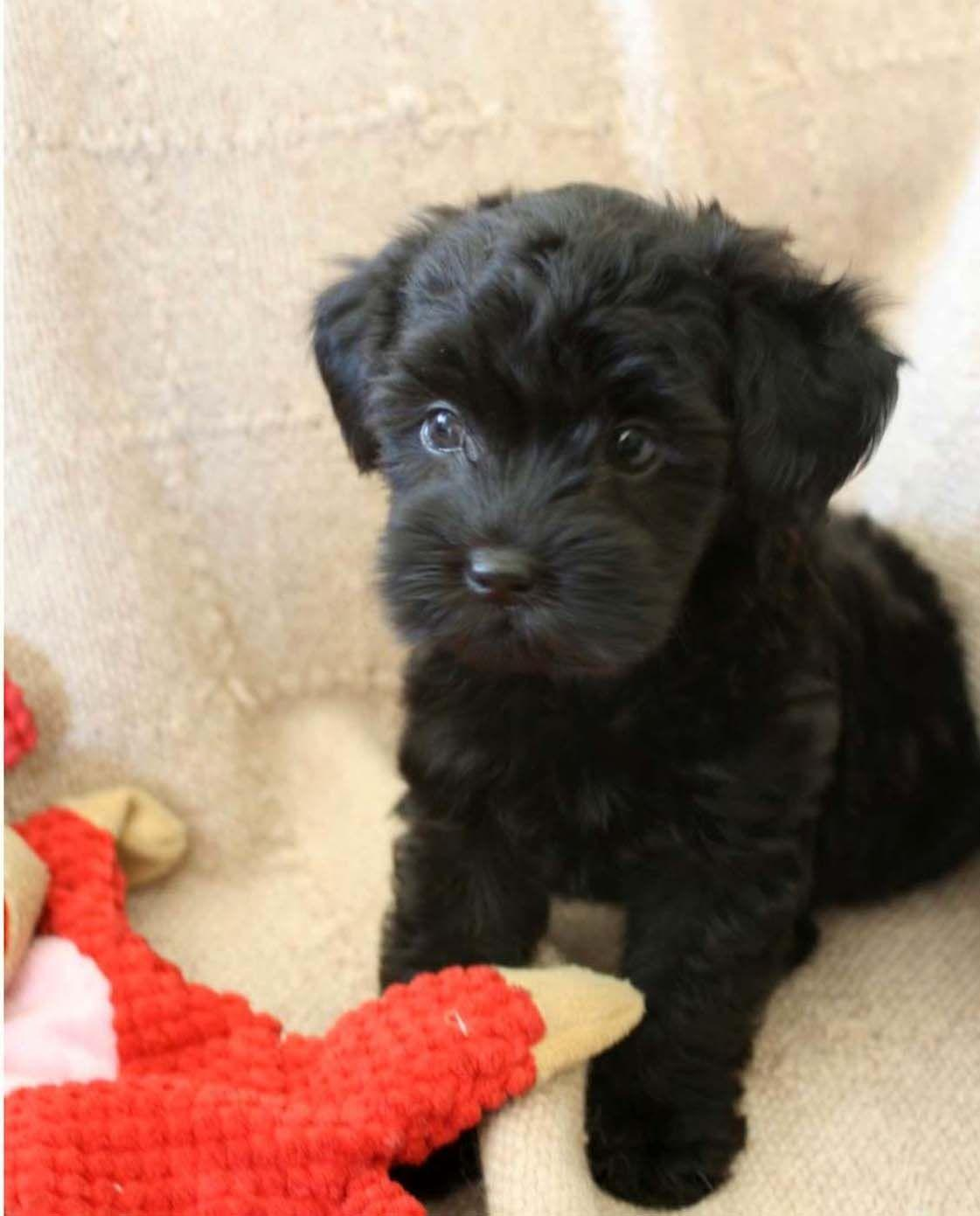 Black Mini Toy Poodle | Childrens Toy WallPaper | dogs | Pinterest ...