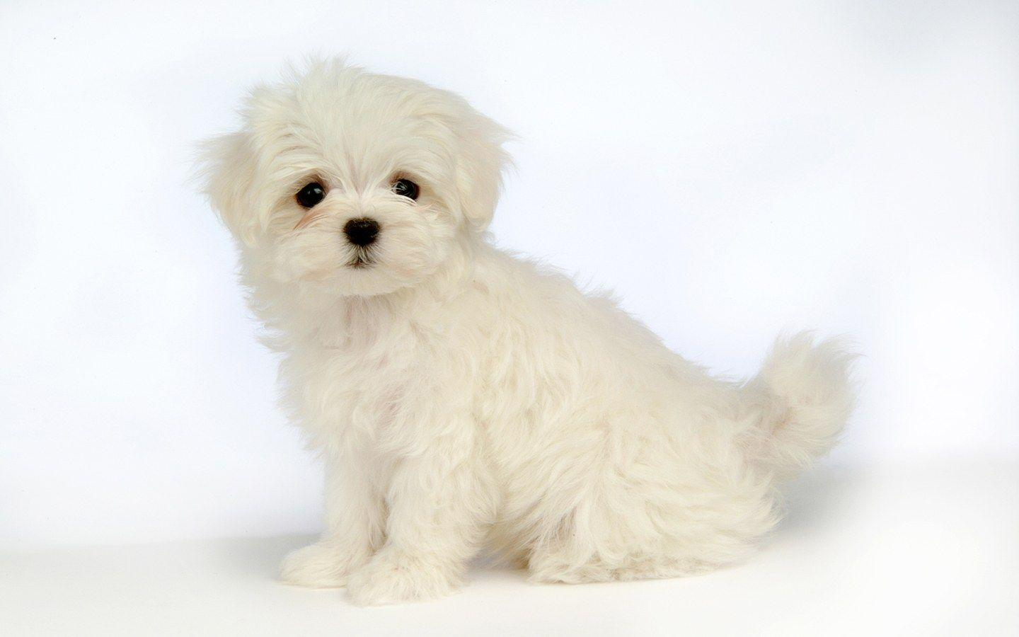 white dogs - Saferbrowser Yahoo Image Search Results | dogs ...