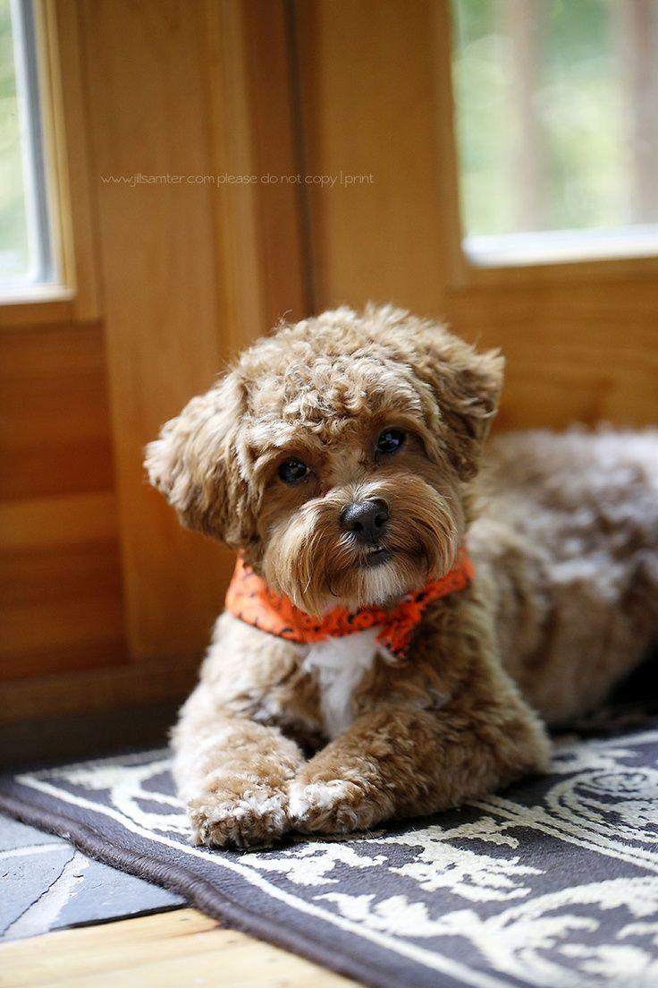 515 best Maltipoo Maltepoo (maltese poodle) images on Pinterest ...
