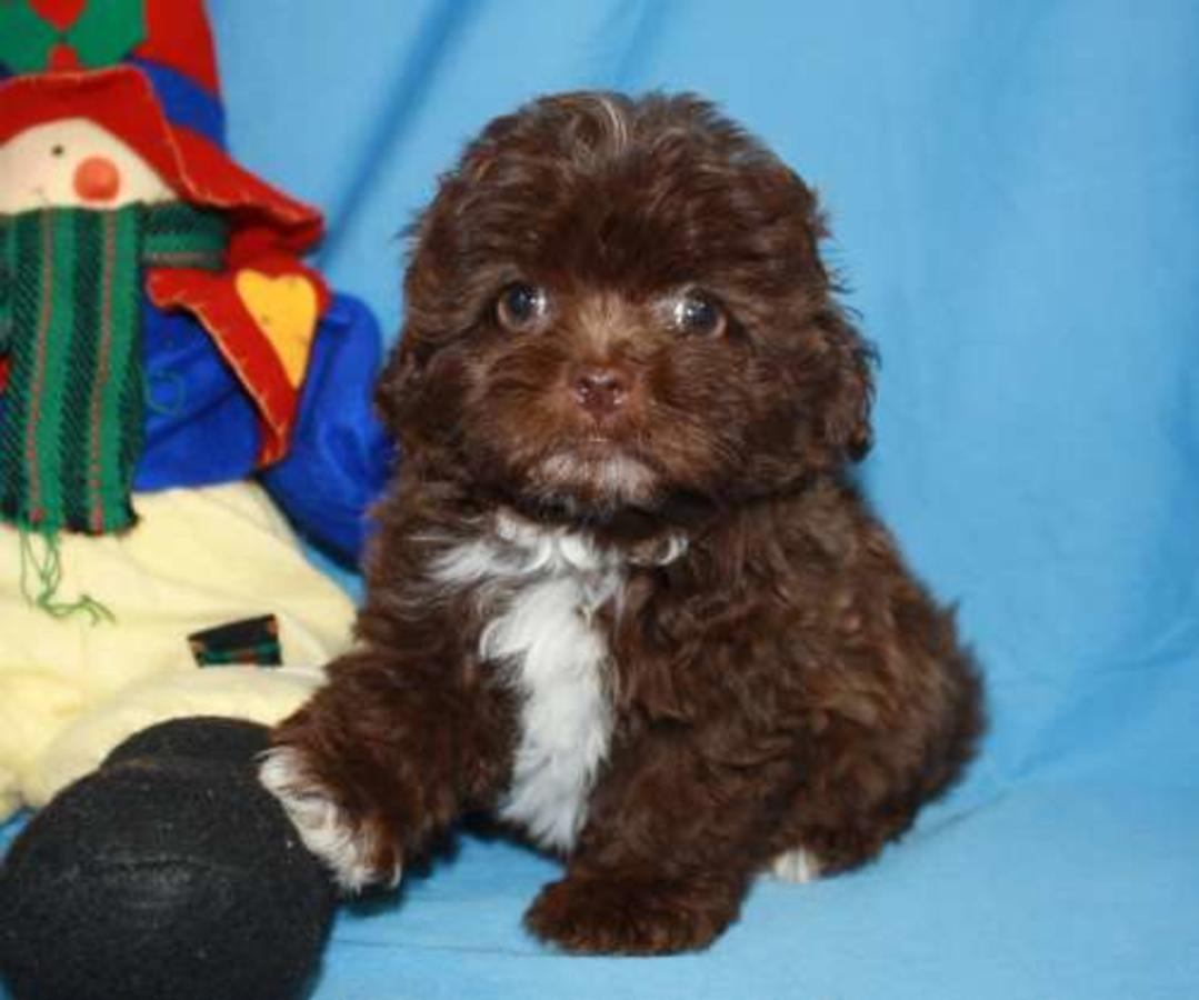 Teacup And Toy Maltipoo Puppiesavailable From Puppy Breeders ...