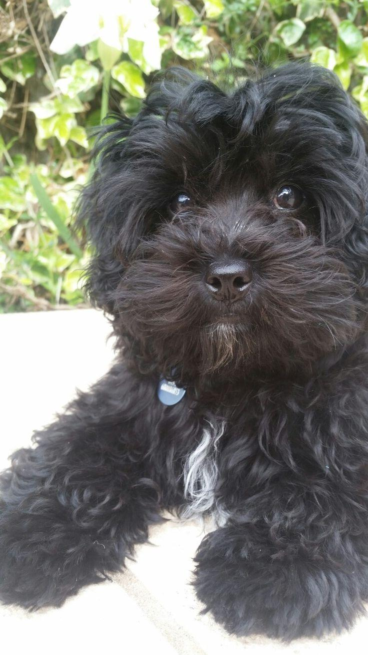 Best 25+ Black maltipoo ideas on Pinterest | Teacup maltipoo, Cute ...
