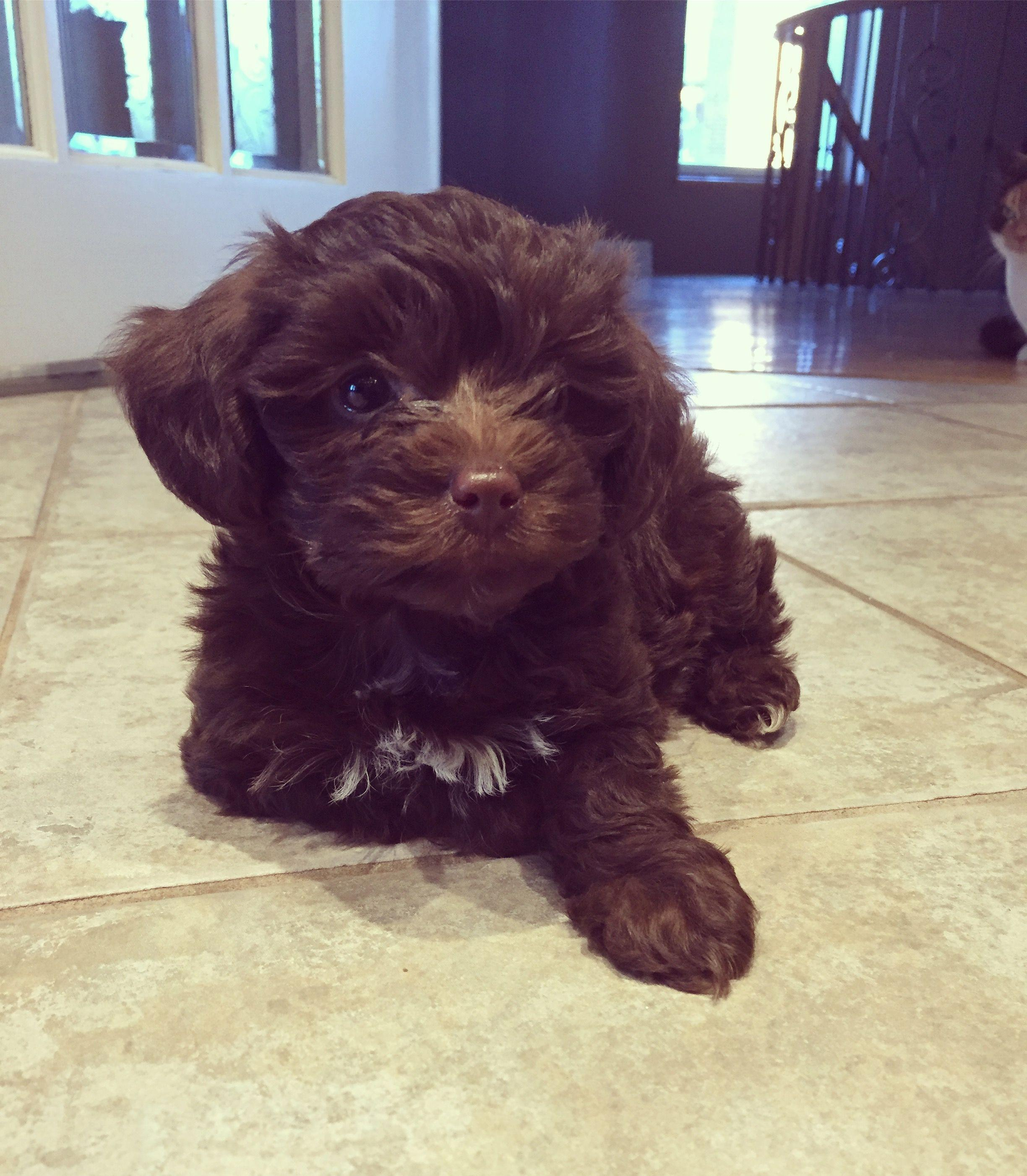 Maltipoo Puppy Happy As Can Be | Cute puppy and dog | Fur Babies ...