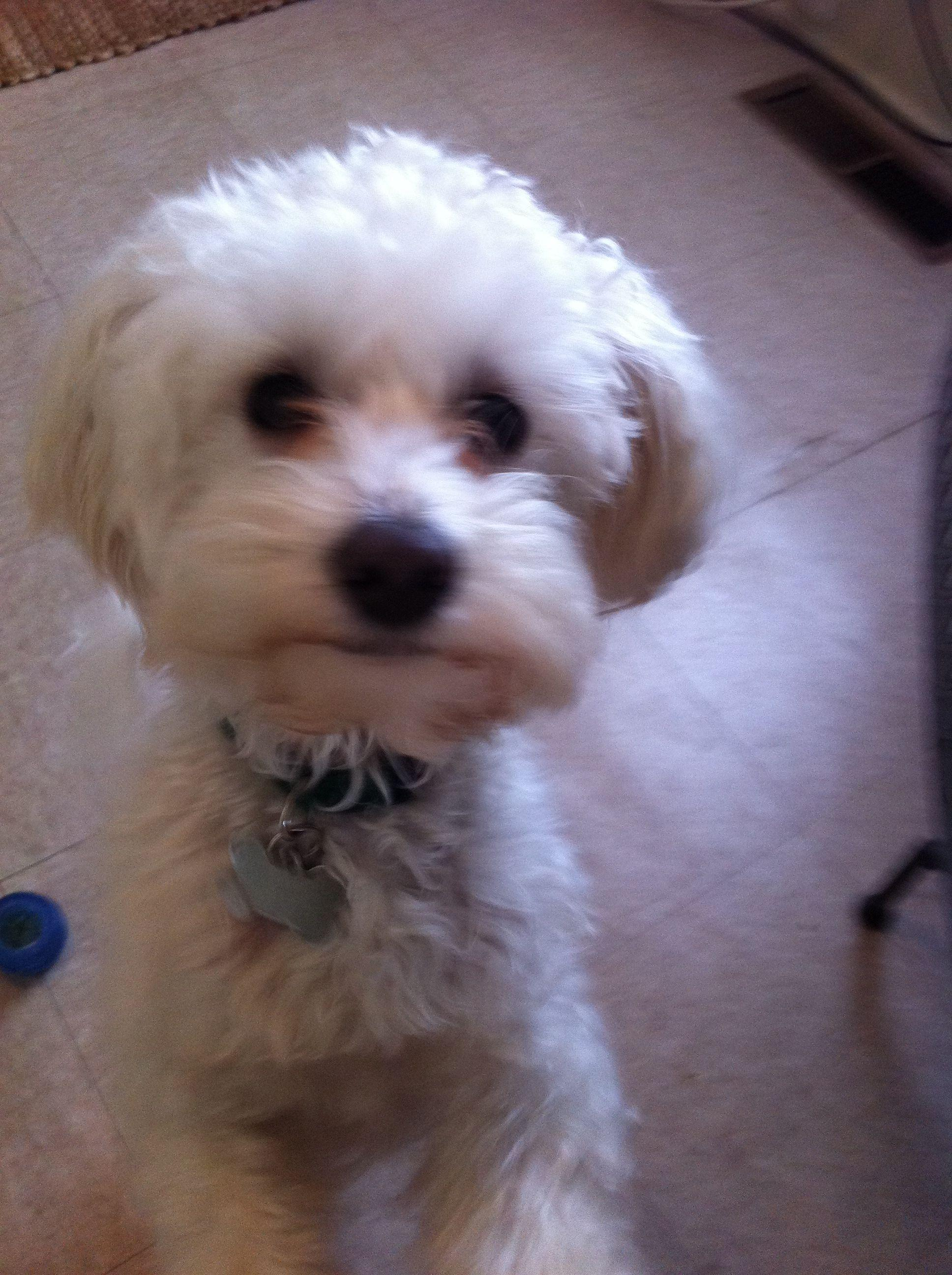 Maltipoo haircuts. maltipoo dogs cute - Fashion Hair Style