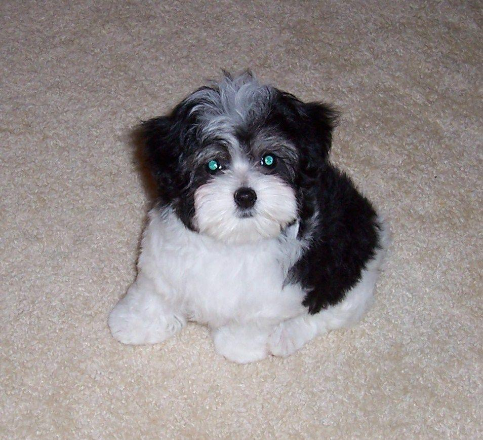 Think I'm leaning towards a black/white combo Maltipoo...super ...