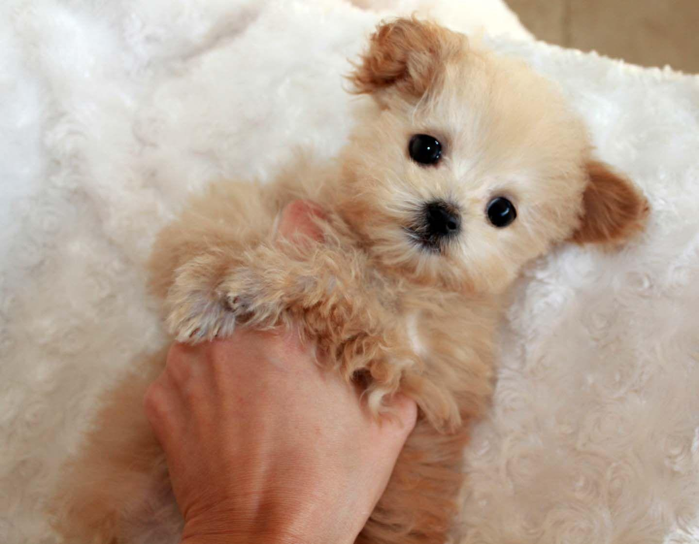 Micro Teacup Maltipoo Pocket Puppy For In Los Wallpaper With ...