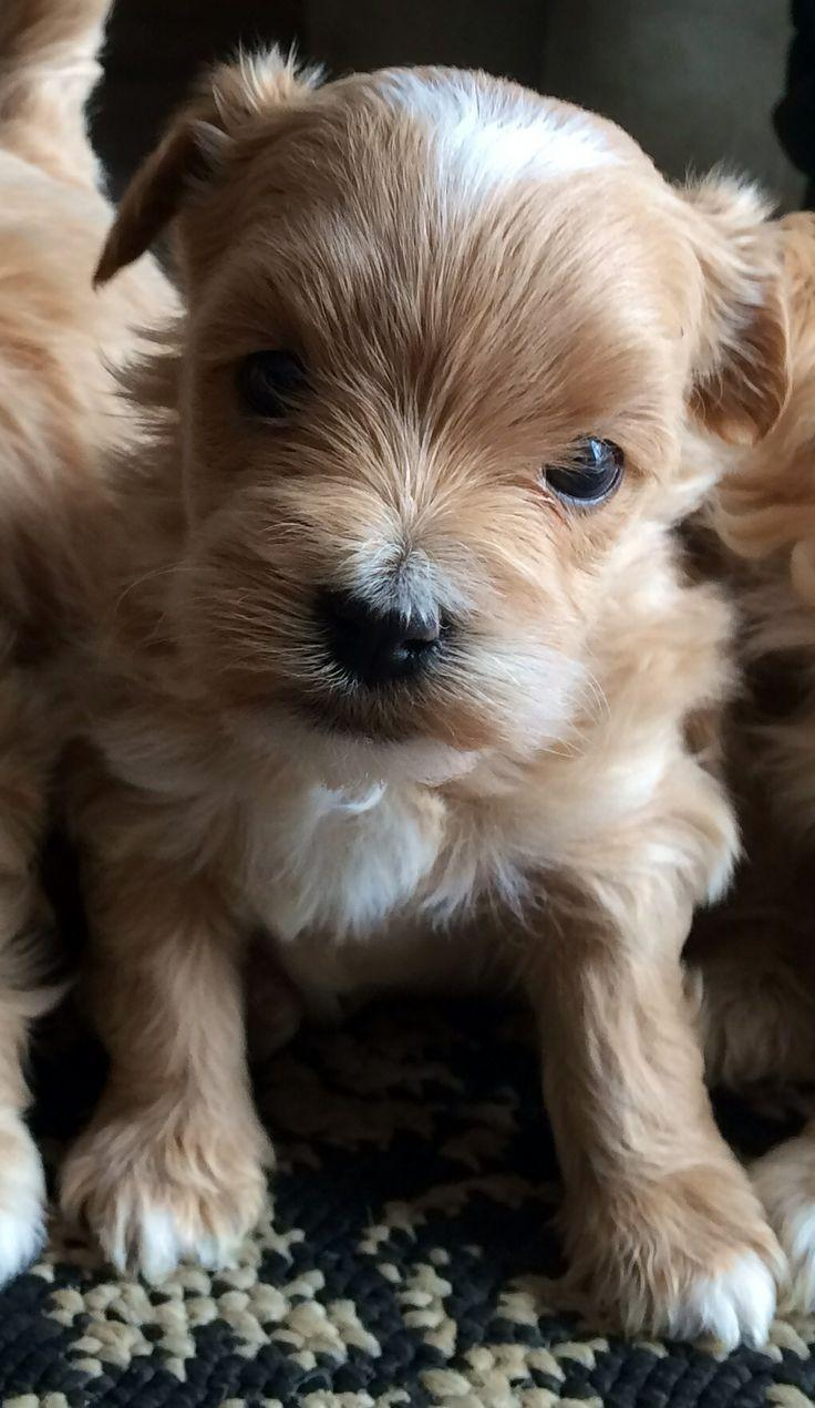 35 best Maltipoo Puppies :) images on Pinterest | Maltipoo puppies ...