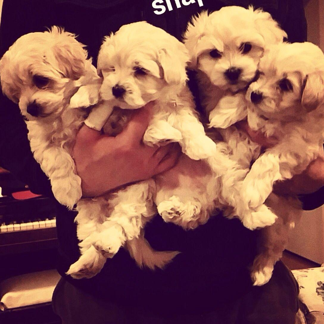 Maltipoo puppies - Imgur | Maltipoo and Maltese Daily | Pinterest ...