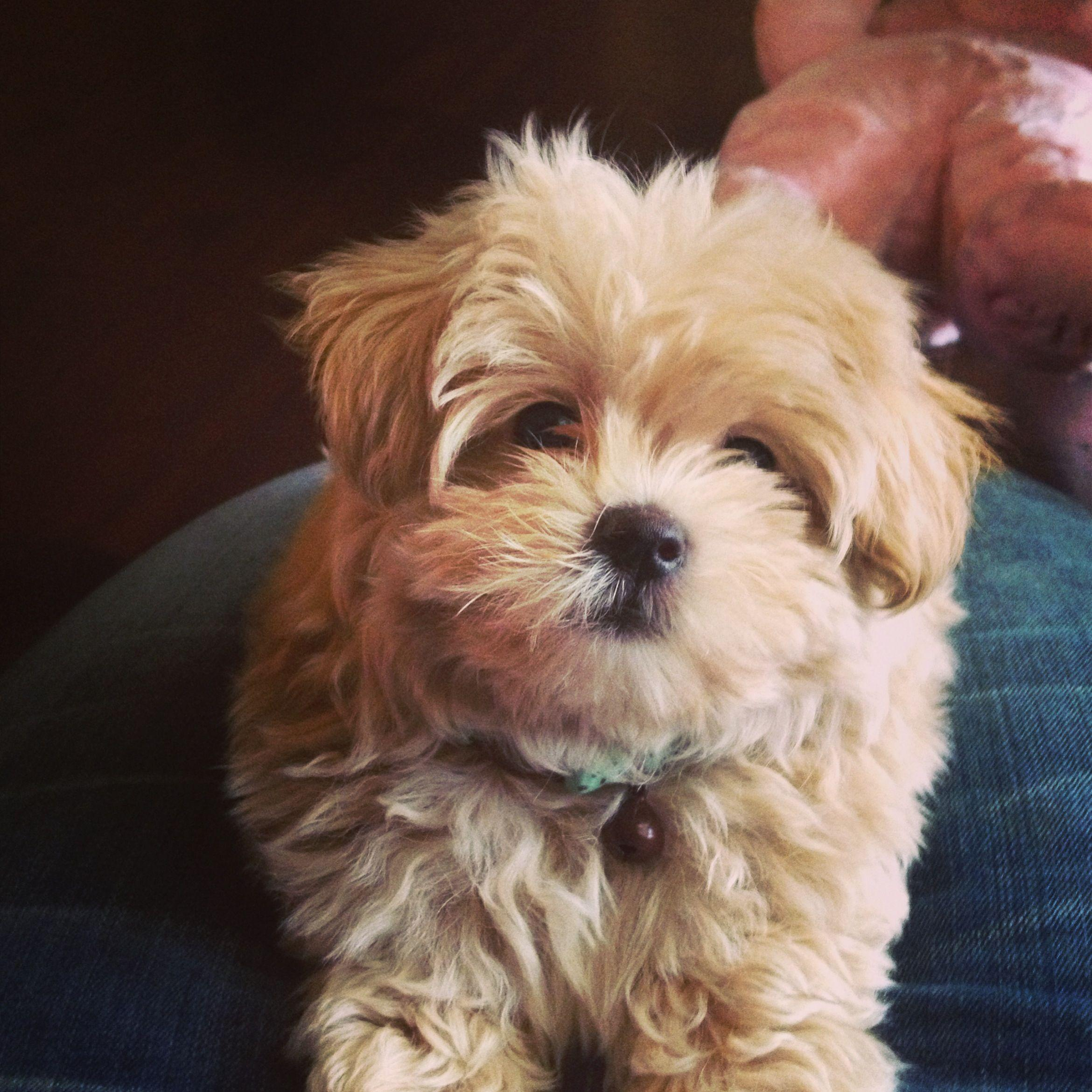 My sweet Maltipoo! Thor!;) | Pets | Pinterest | Maltipoo, Dog and ...
