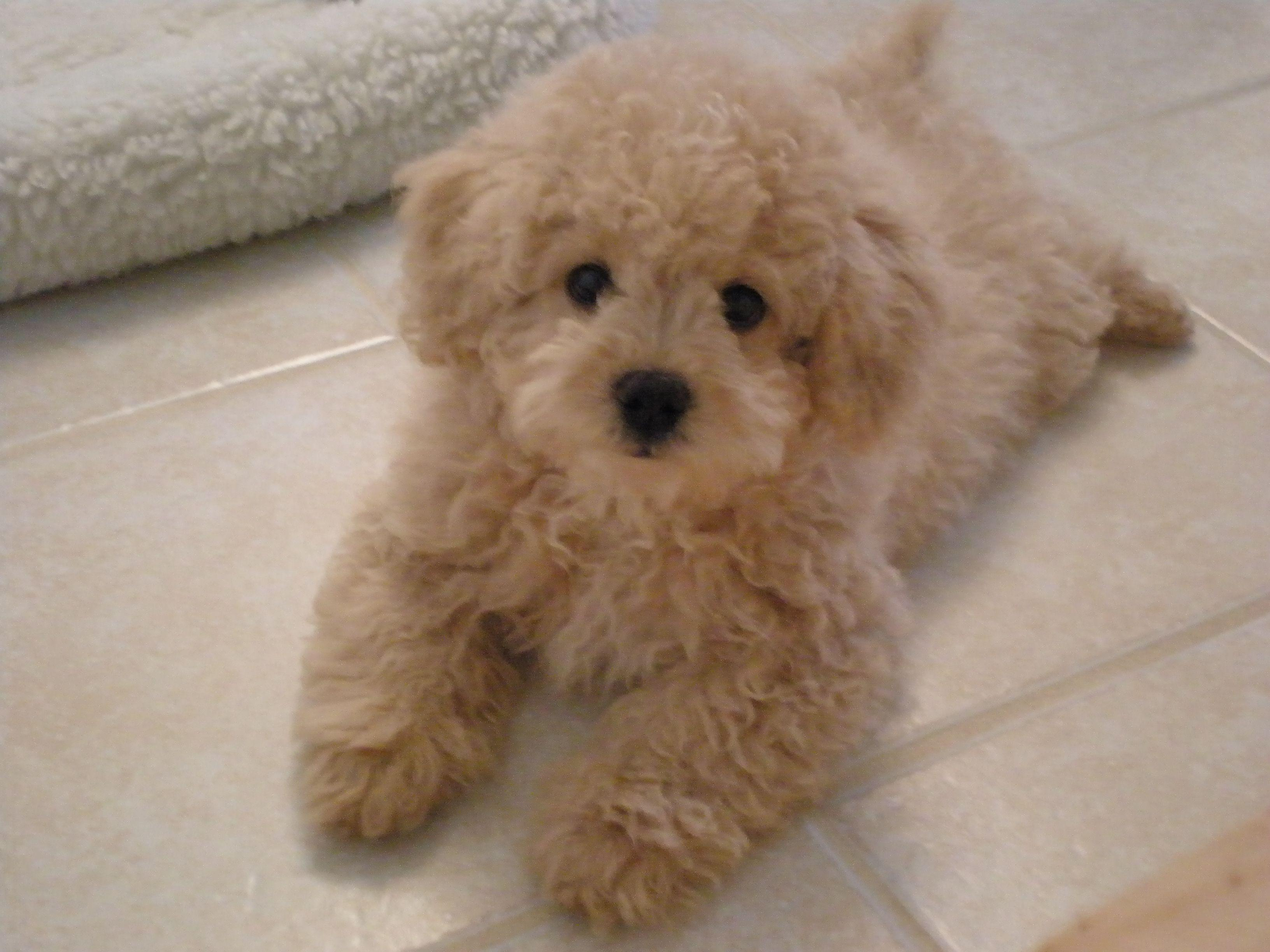 Best 25+ Maltipoo breeders ideas on Pinterest | Maltipoo puppies ...