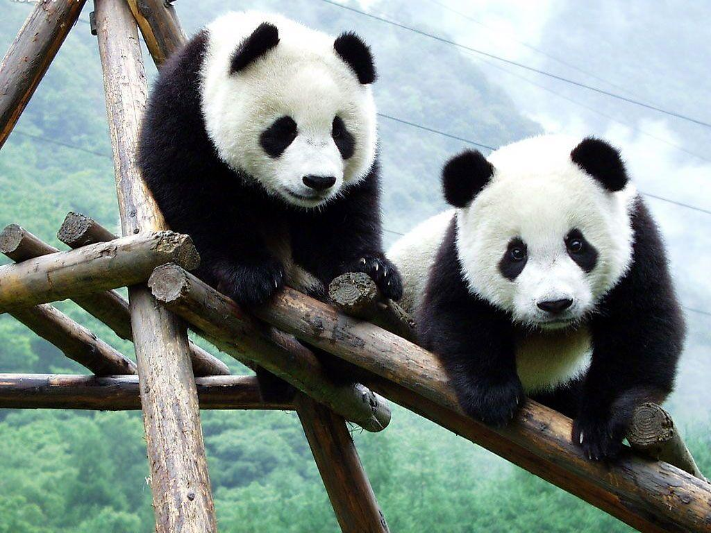 Cute Panda Wallpaper HD PixelsTalk Baby Wallpapers