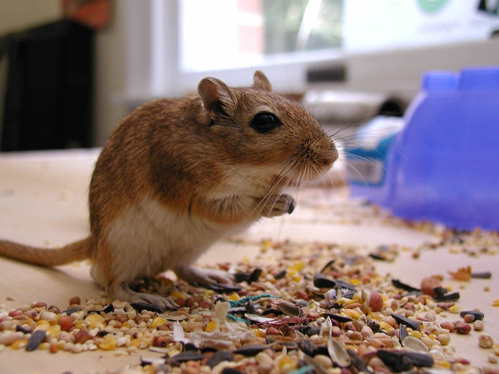 Gerbil Wallpapers - Animals Town