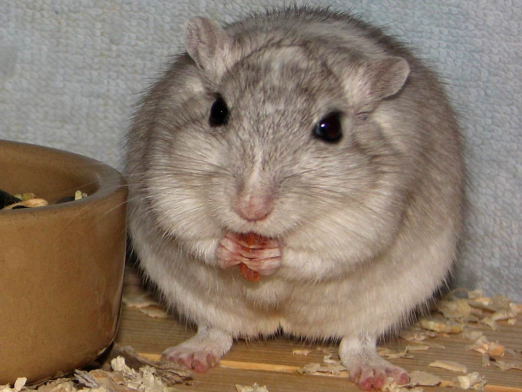 Free Gerbil Wallpaper download - Animals Town