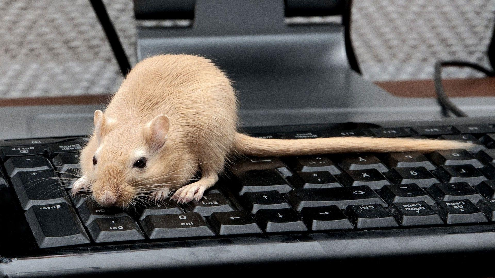 Download Wallpaper 1920x1080 Keyboard, Tail, Gerbil Full HD 1080p ...