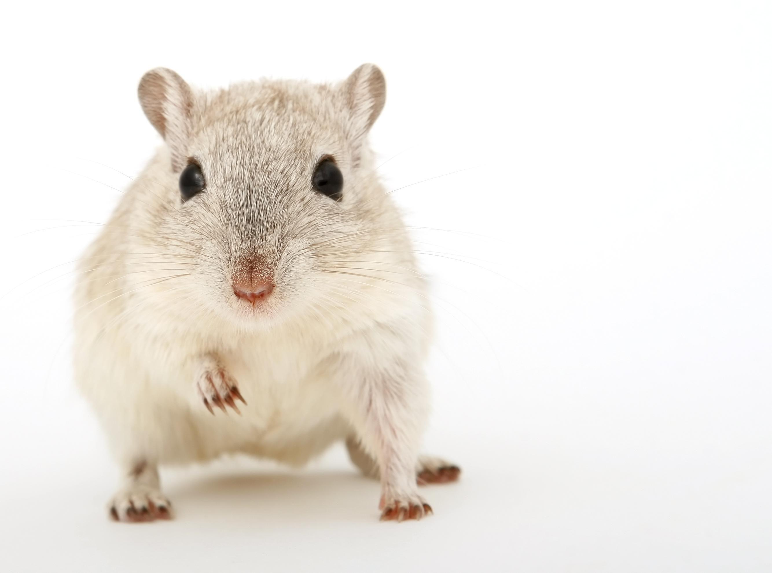 Gerbil Wallpapers HD Download