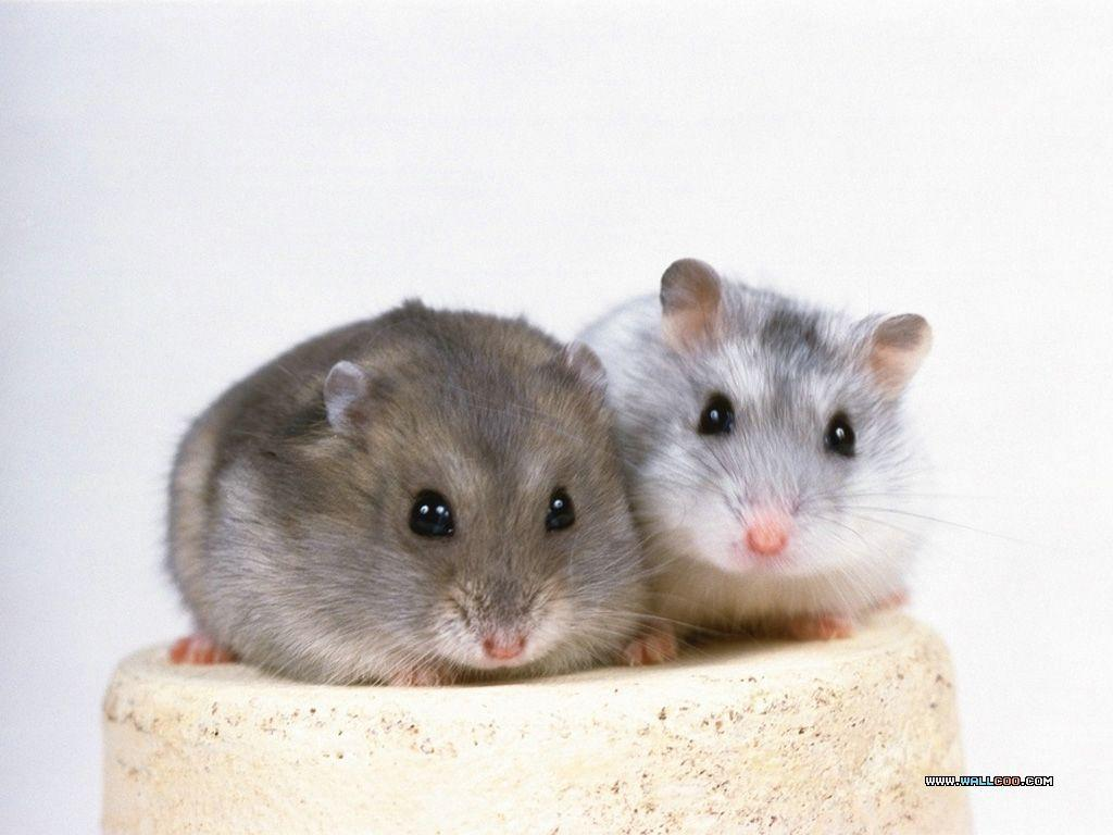 42 best wallpapers hamster images on Pinterest | Cute hamsters ...