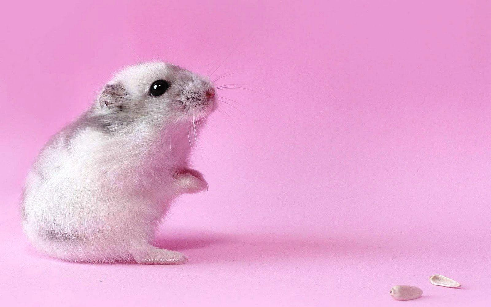 ideas about Hamster Wallpaper on Pinterest Hamsters, Cute 1600 ...
