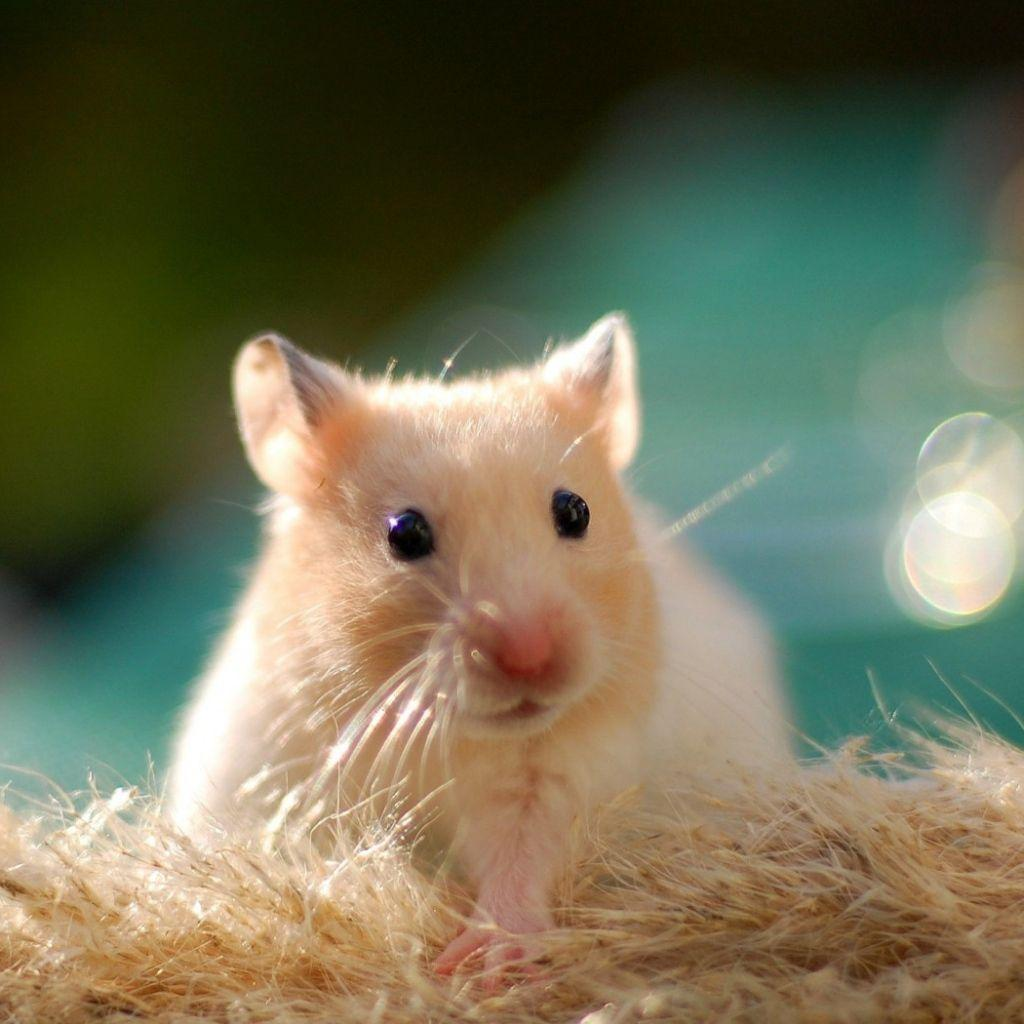 IPad, iPad 2, iPad mini Hamster Wallpapers HD, Desktop Backgrounds ...