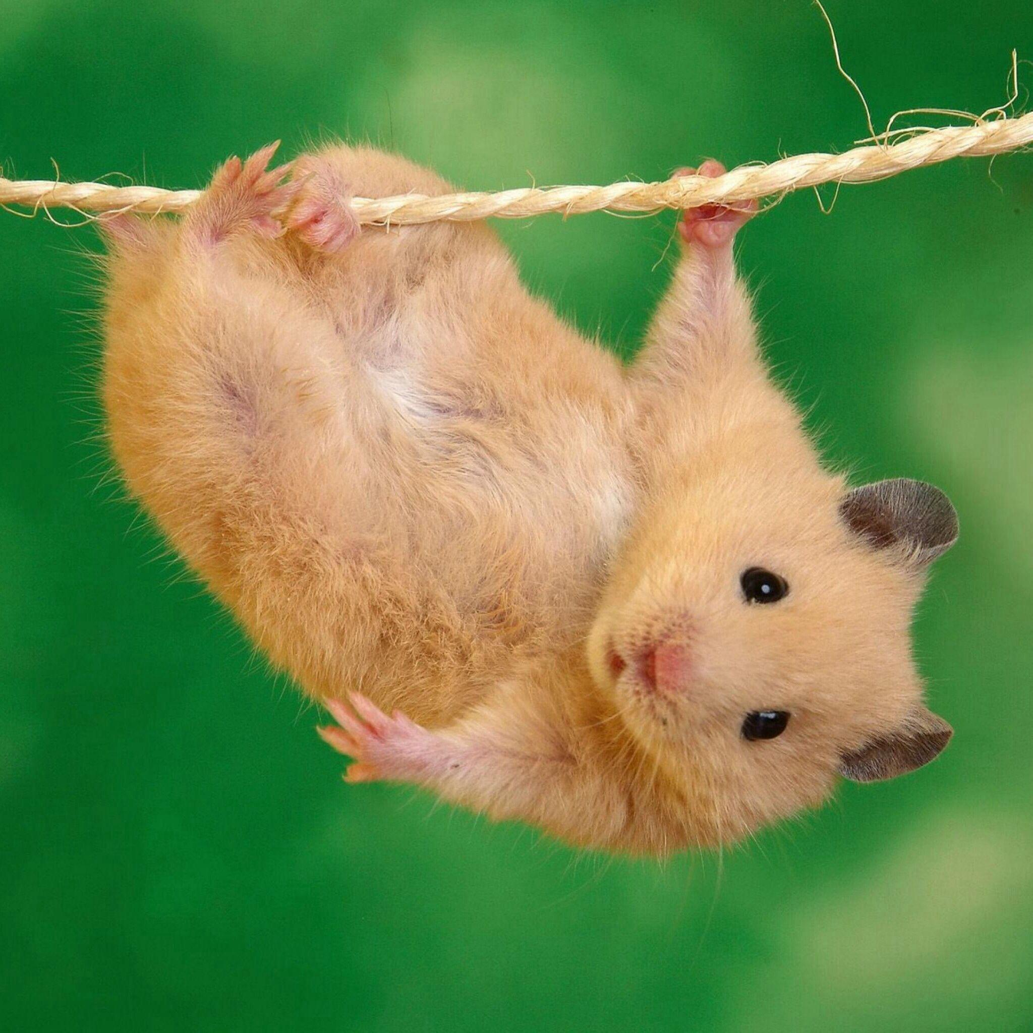 Hamster (Love them but not allowed in Australia) | Cute Animals II ...