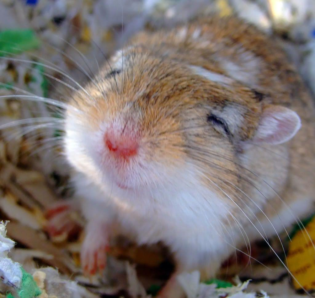 gerbil smiling | Animals | Pinterest | Gerbil, Animal and Small ...
