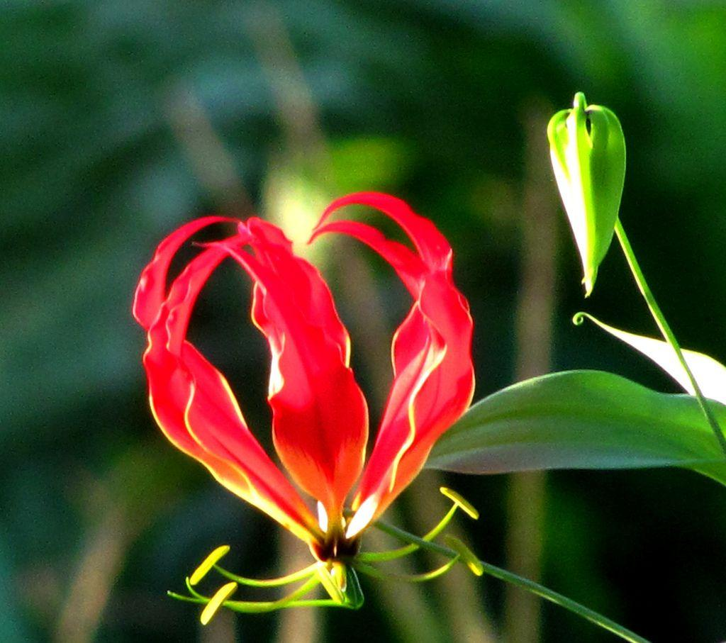 Flame Lily-Zimbabwe National Flower | Latest Hd Wallpapers