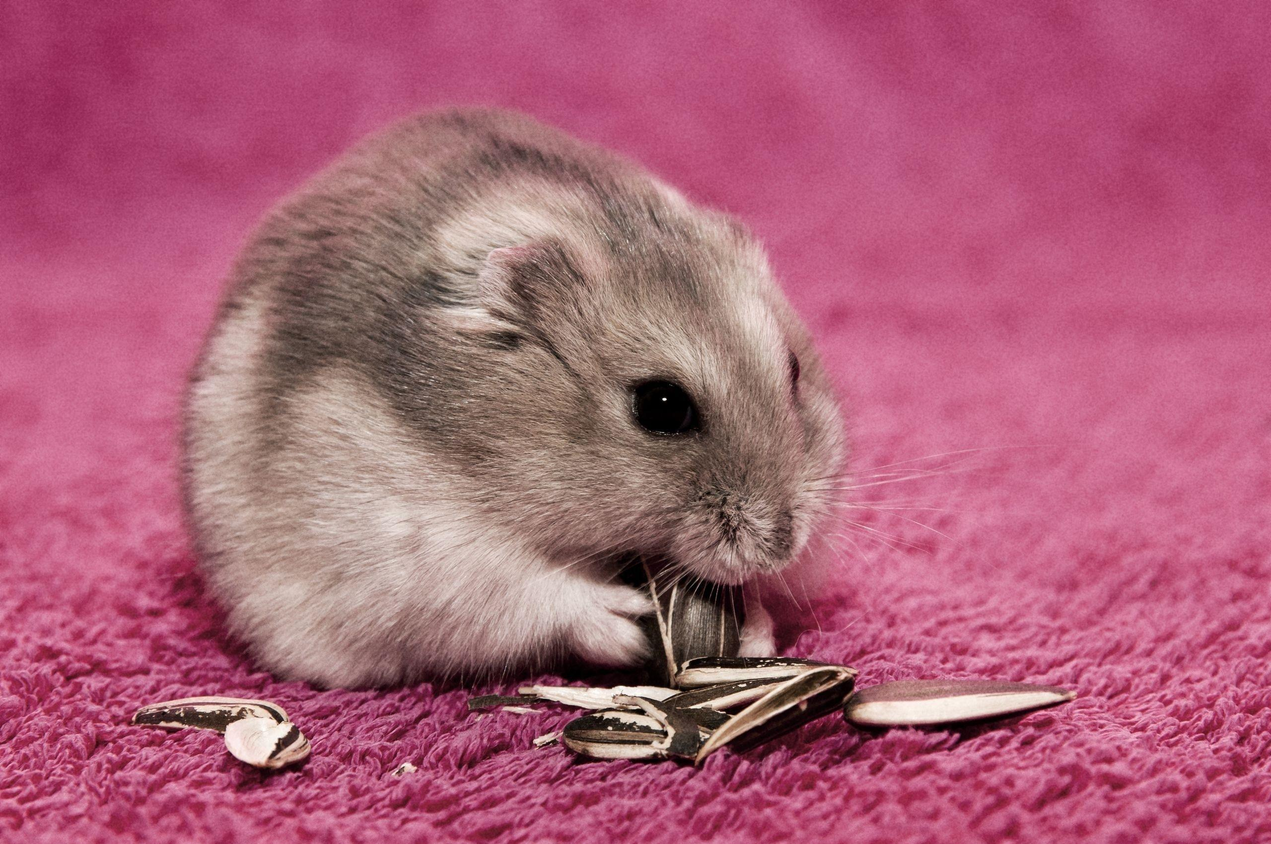 Cute Hamster Wallpapers Android Apps on Google Play | Wallpapers ...