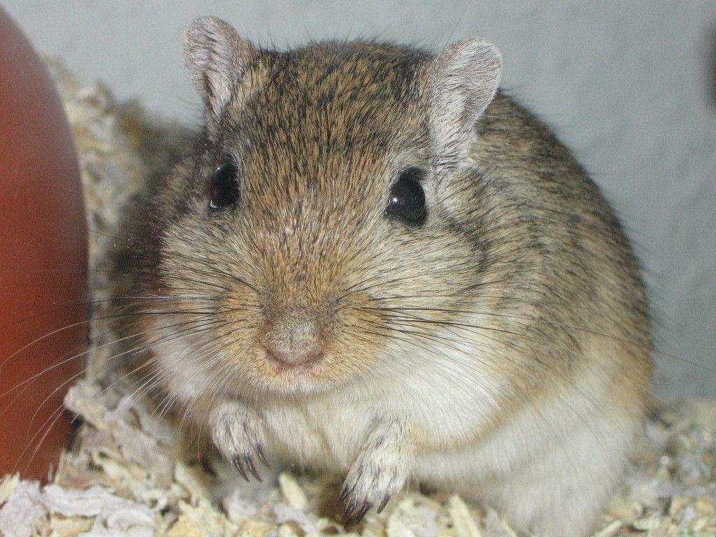 Gerbils are very territorial! If a new gerbil is just placed ...