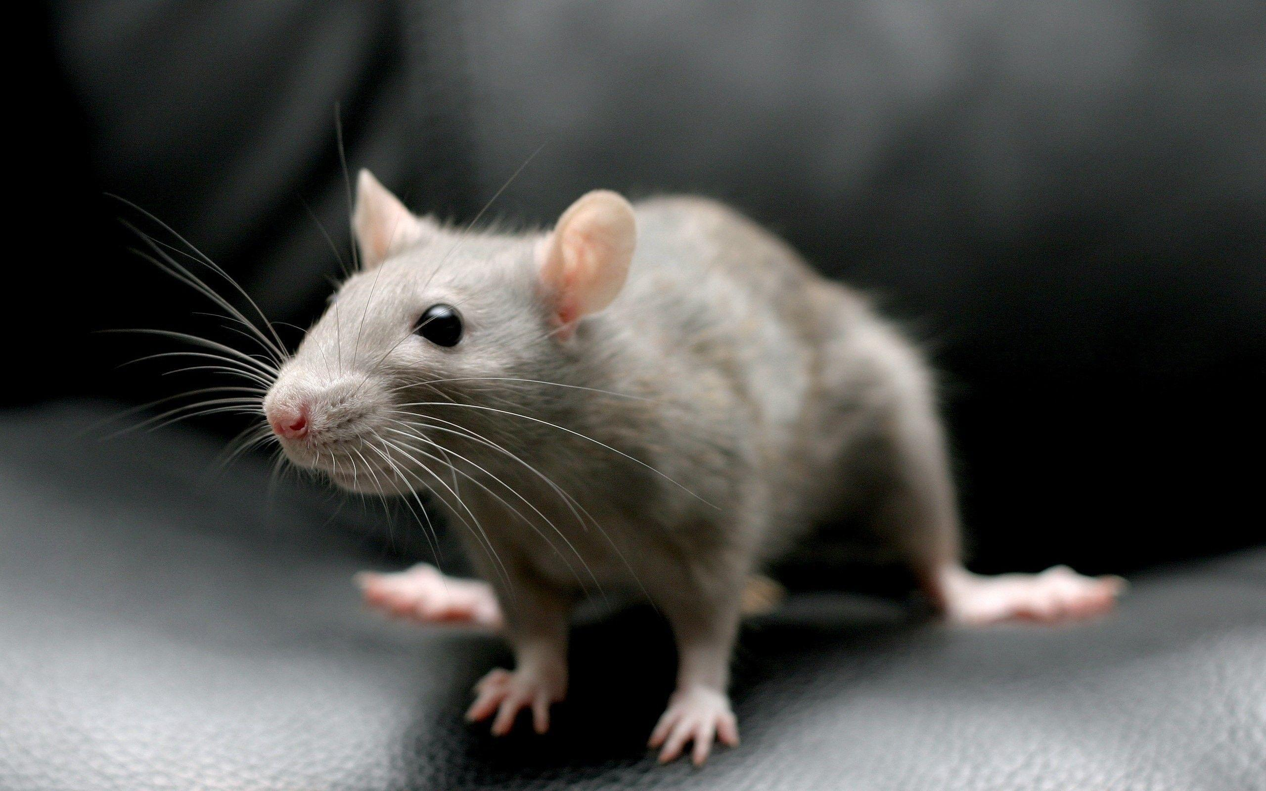 Rat Wallpaper (53+ images)