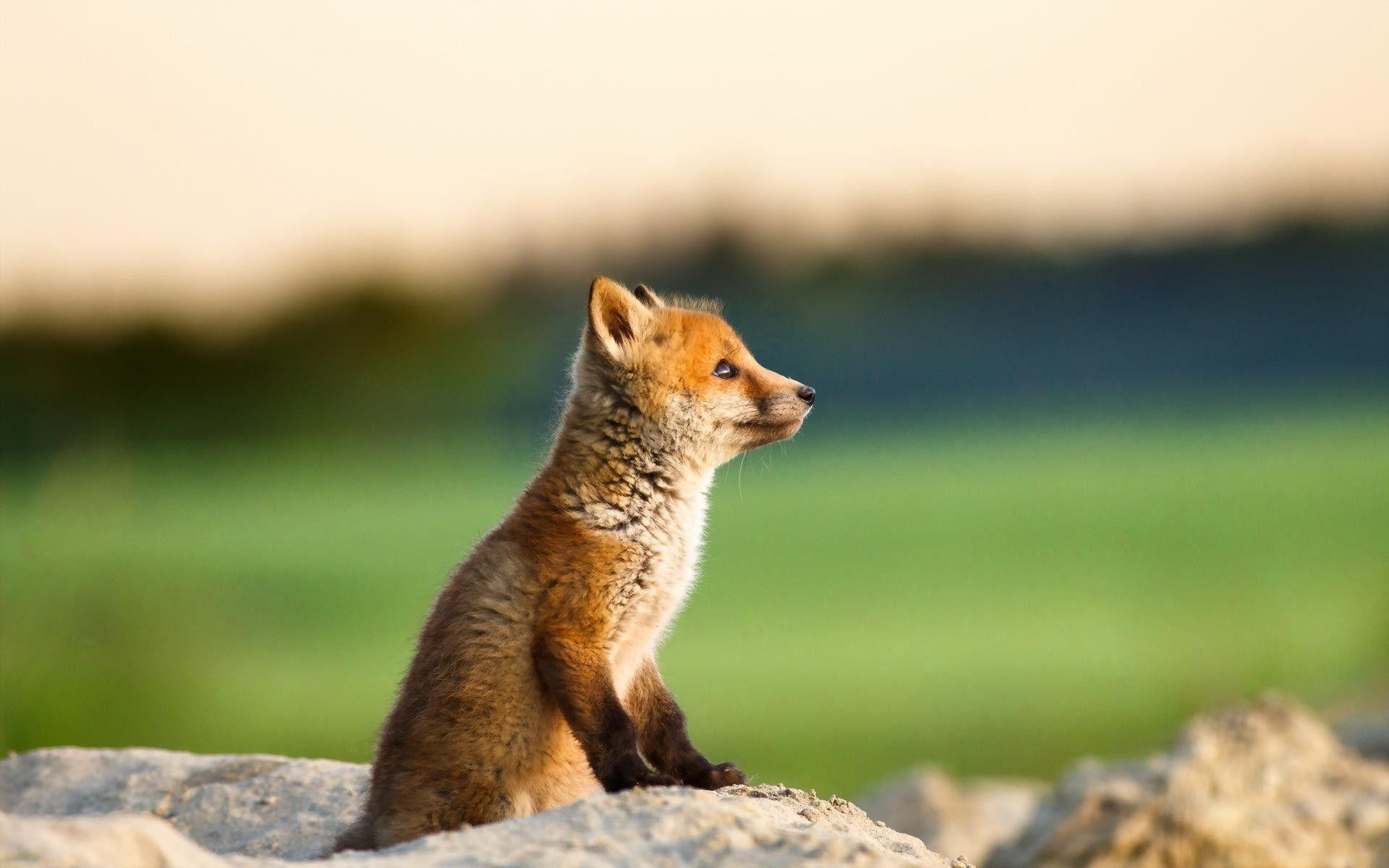 baby fox wallpapers wallpaper cave
