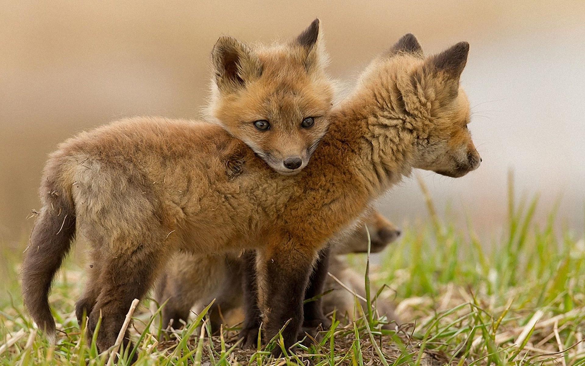 Baby Fox Wallpapers - Wallpaper Cave