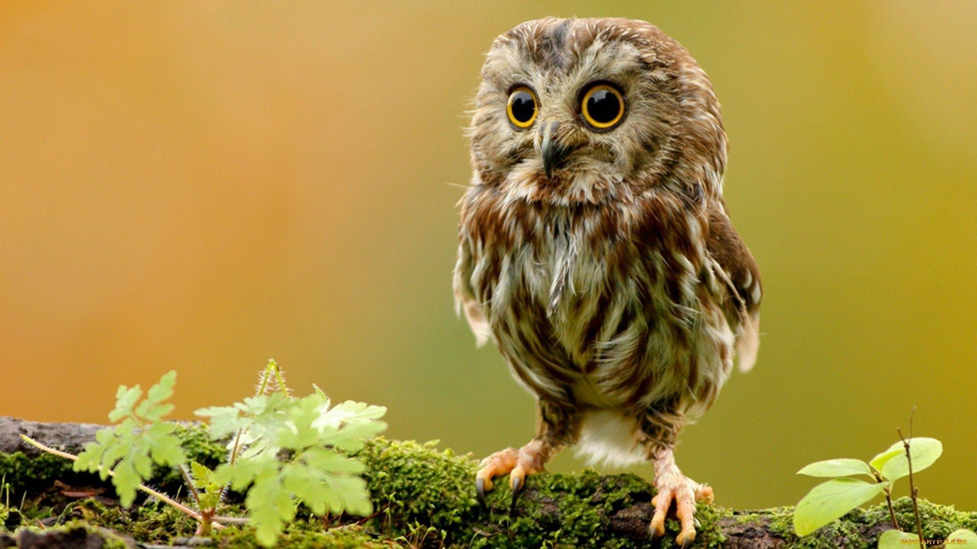 Owls wallpapers wallpaper cave owls wallpapers reuun voltagebd Images