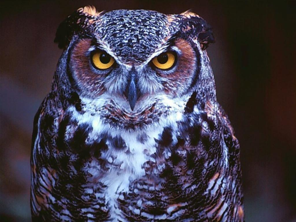 Owls Wallpapers Wallpaper Cave