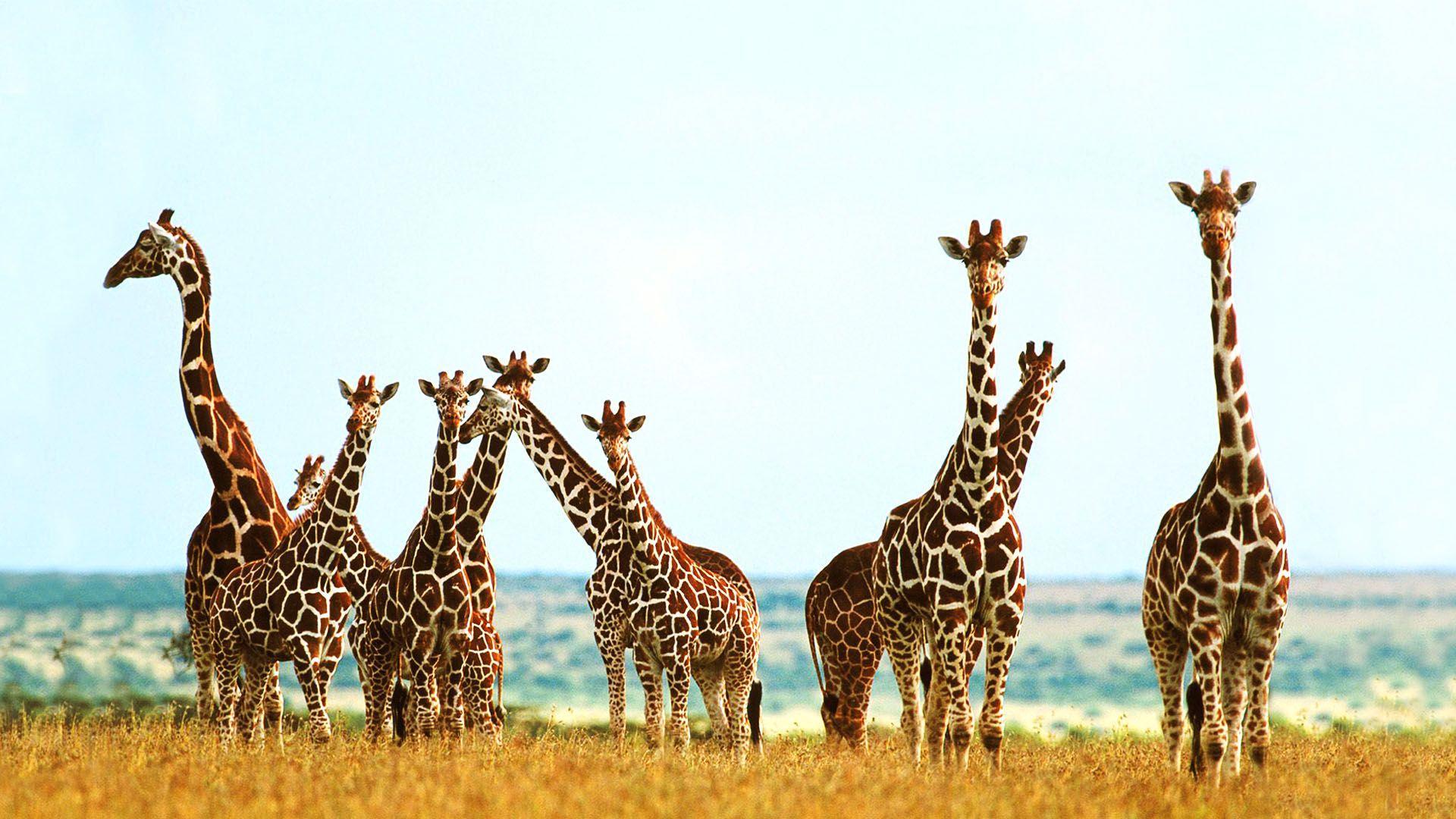 Giraffe Hd Wallpapers Wallpaper Cave