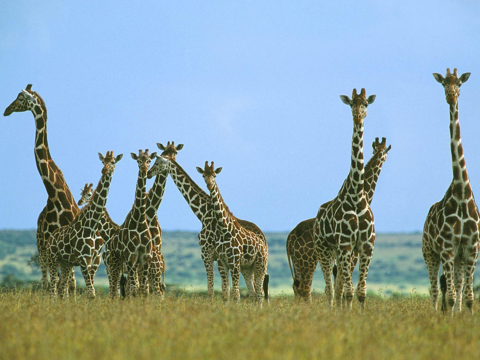 Giraffes Images HD Wallpaper And Background Photos 24515816