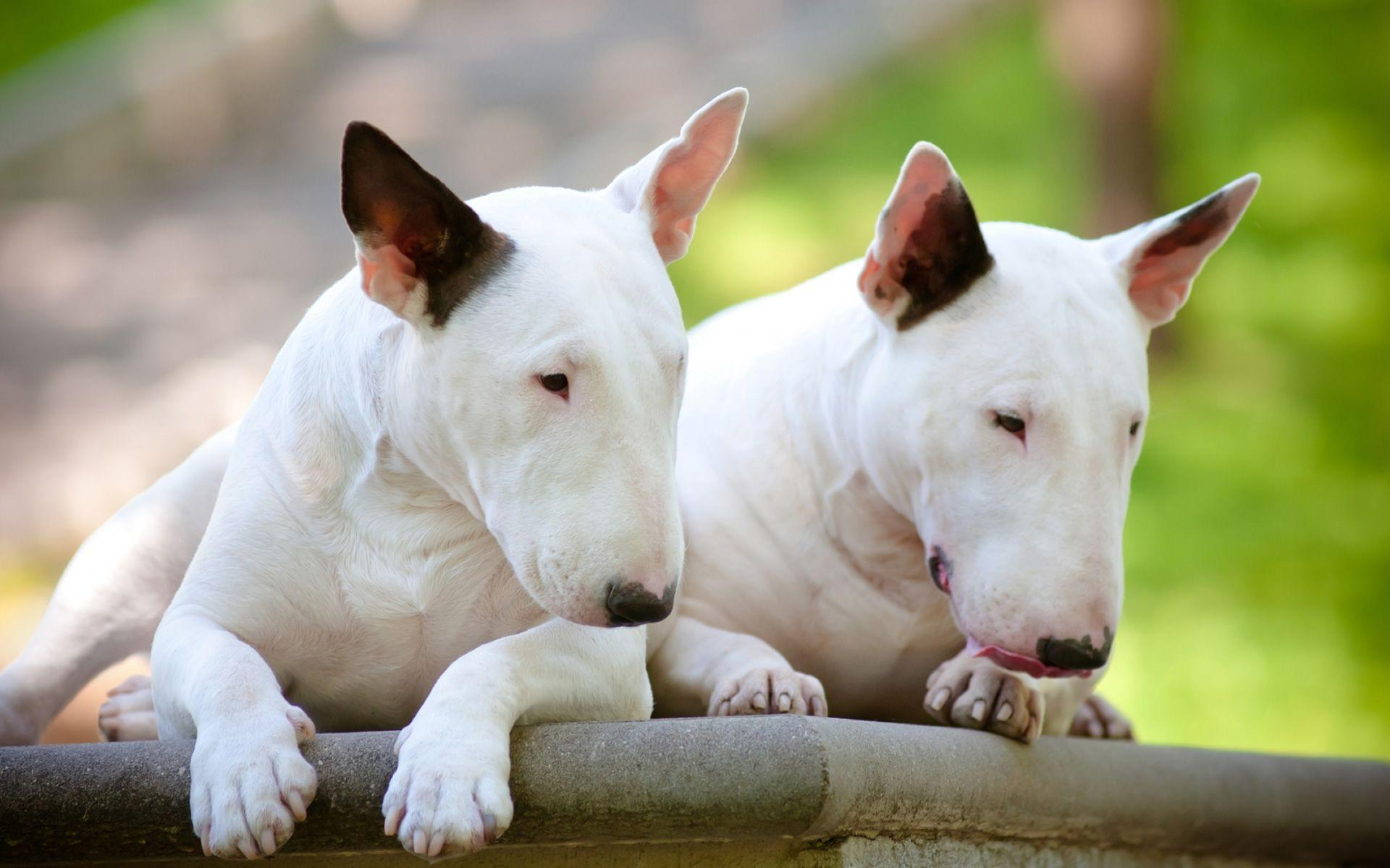 English Bull Terrier Wallpapers